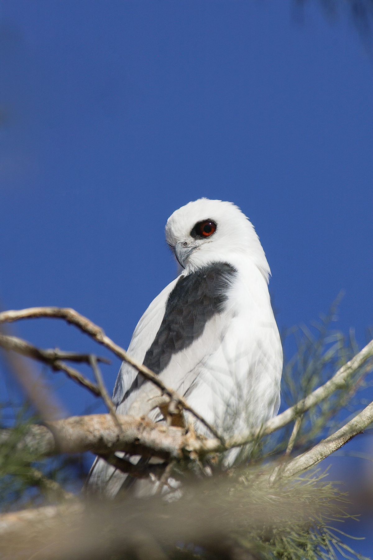 Letter-winged Kite (Image ID 43339)