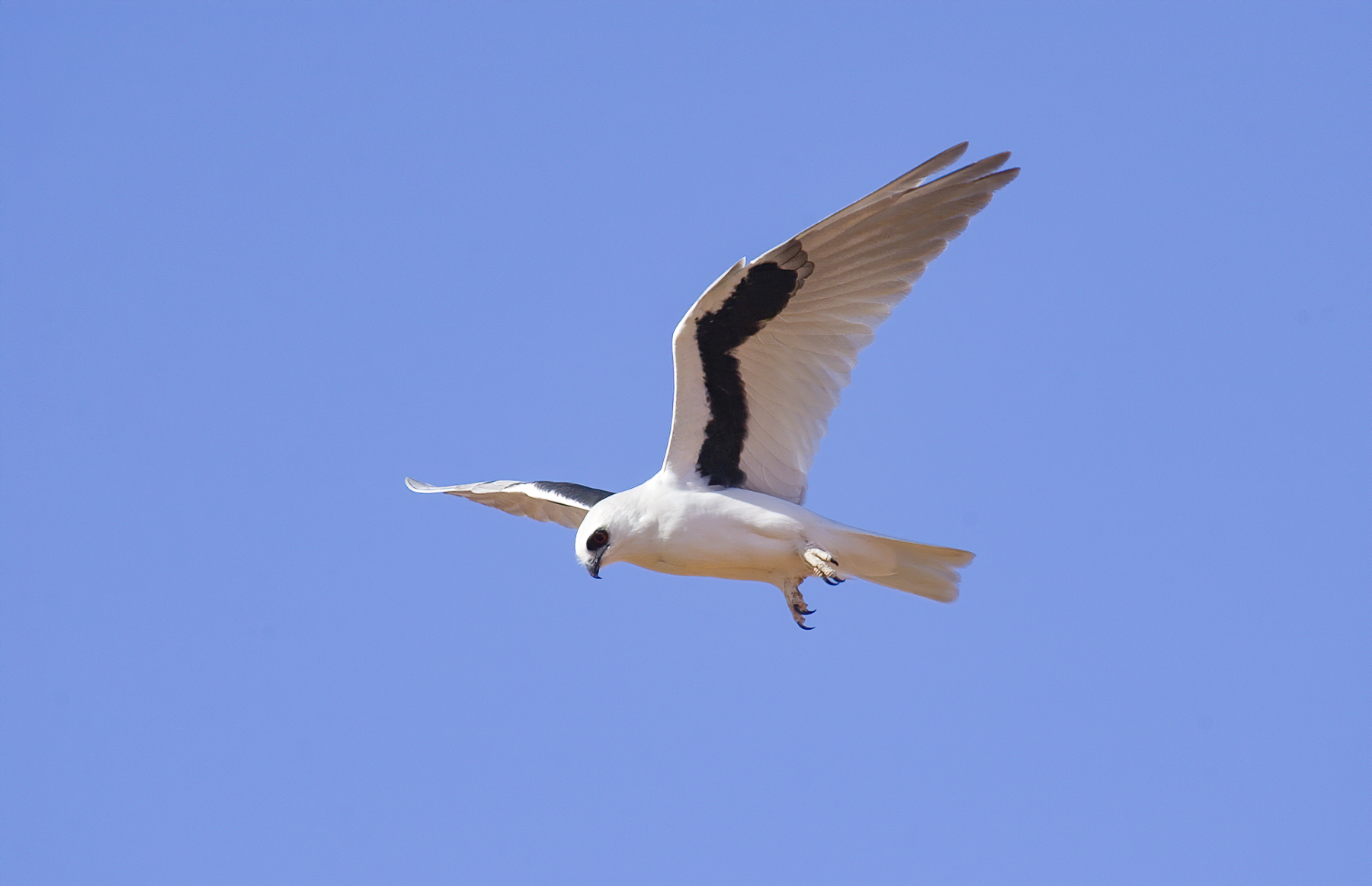 Letter-winged Kite (Image ID 43338)