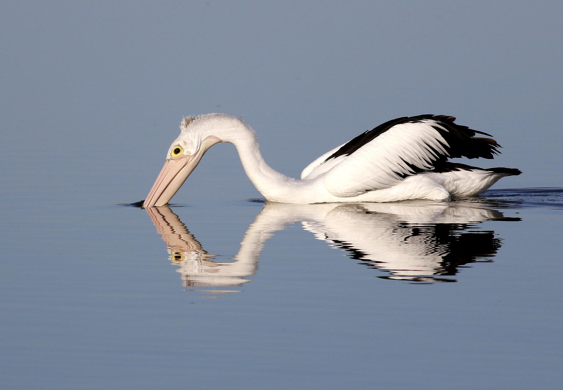 Australian Pelican (Image ID 43250)
