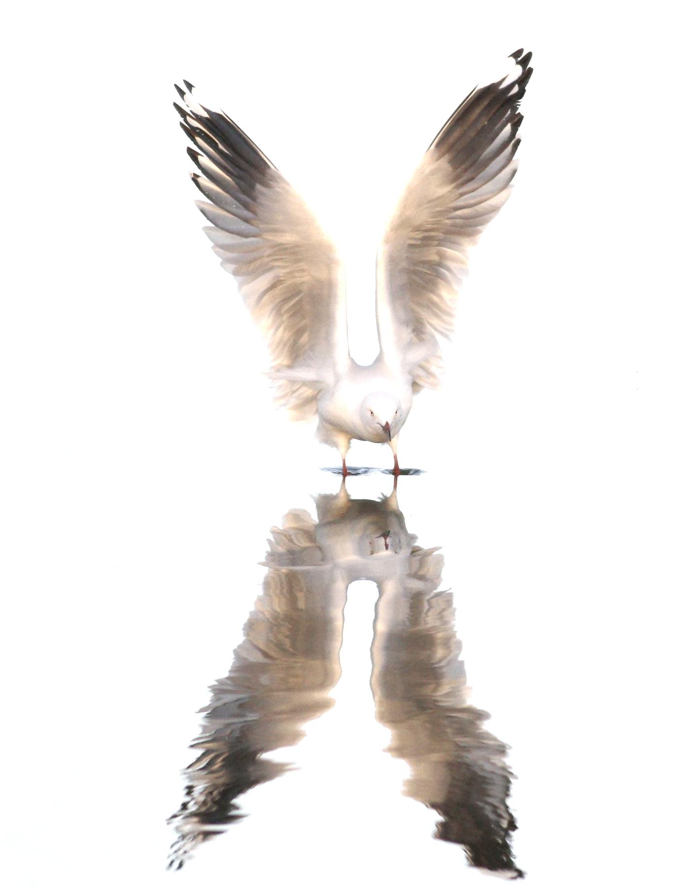 Silver Gull (Image ID 43249)