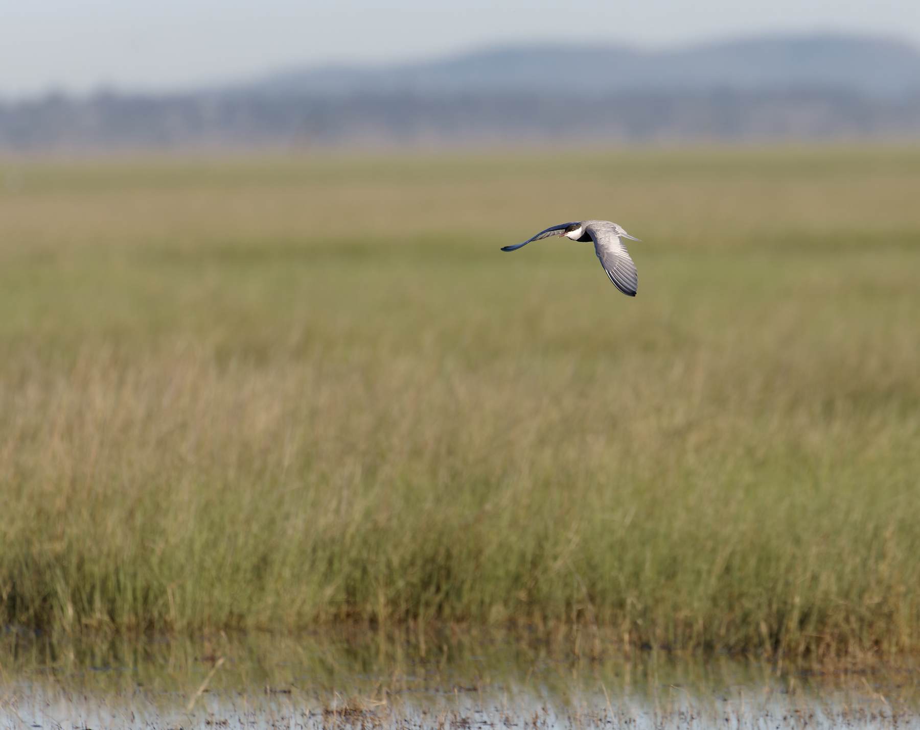 Whiskered Tern (Image ID 43479)