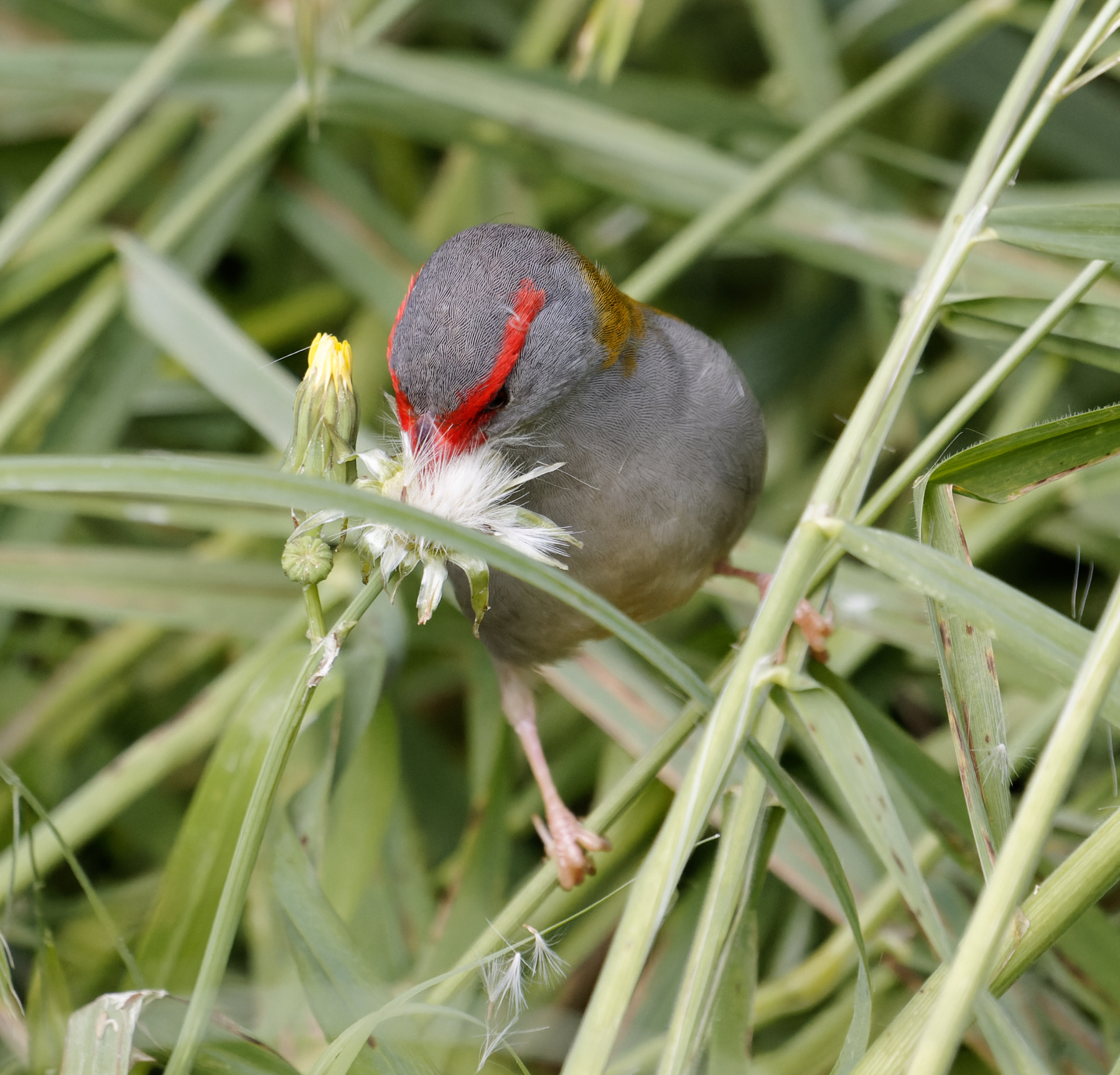 Red-browed Finch (Image ID 43328)