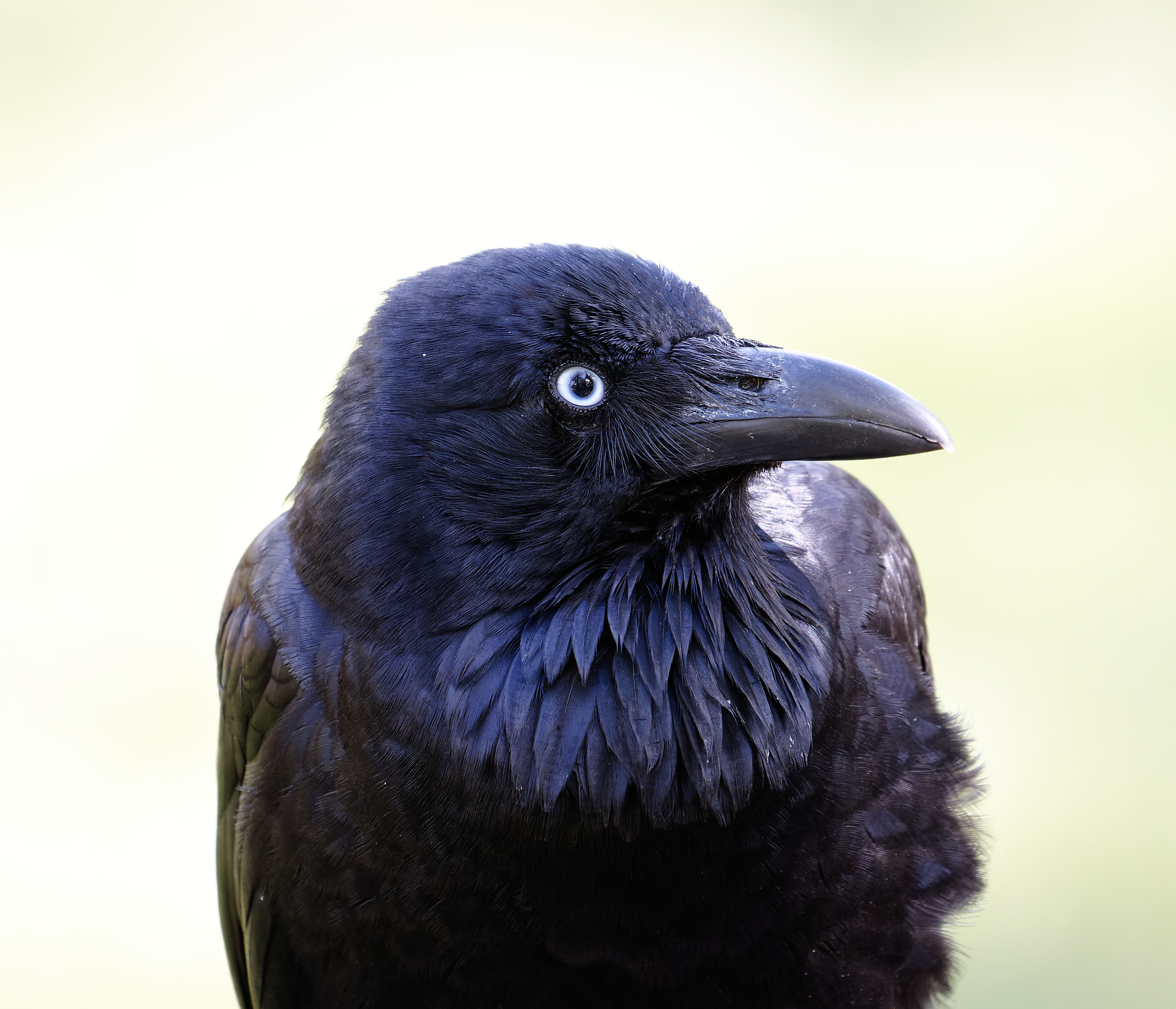 Australian Raven (Image ID 43376)