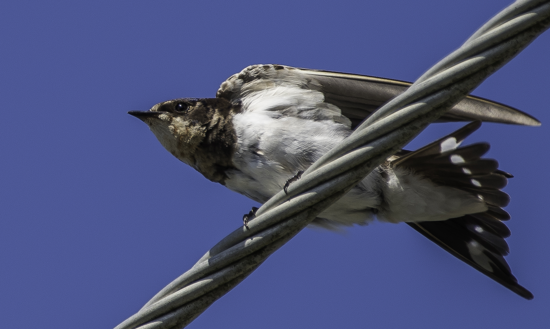 Barn Swallow (Image ID 43319)