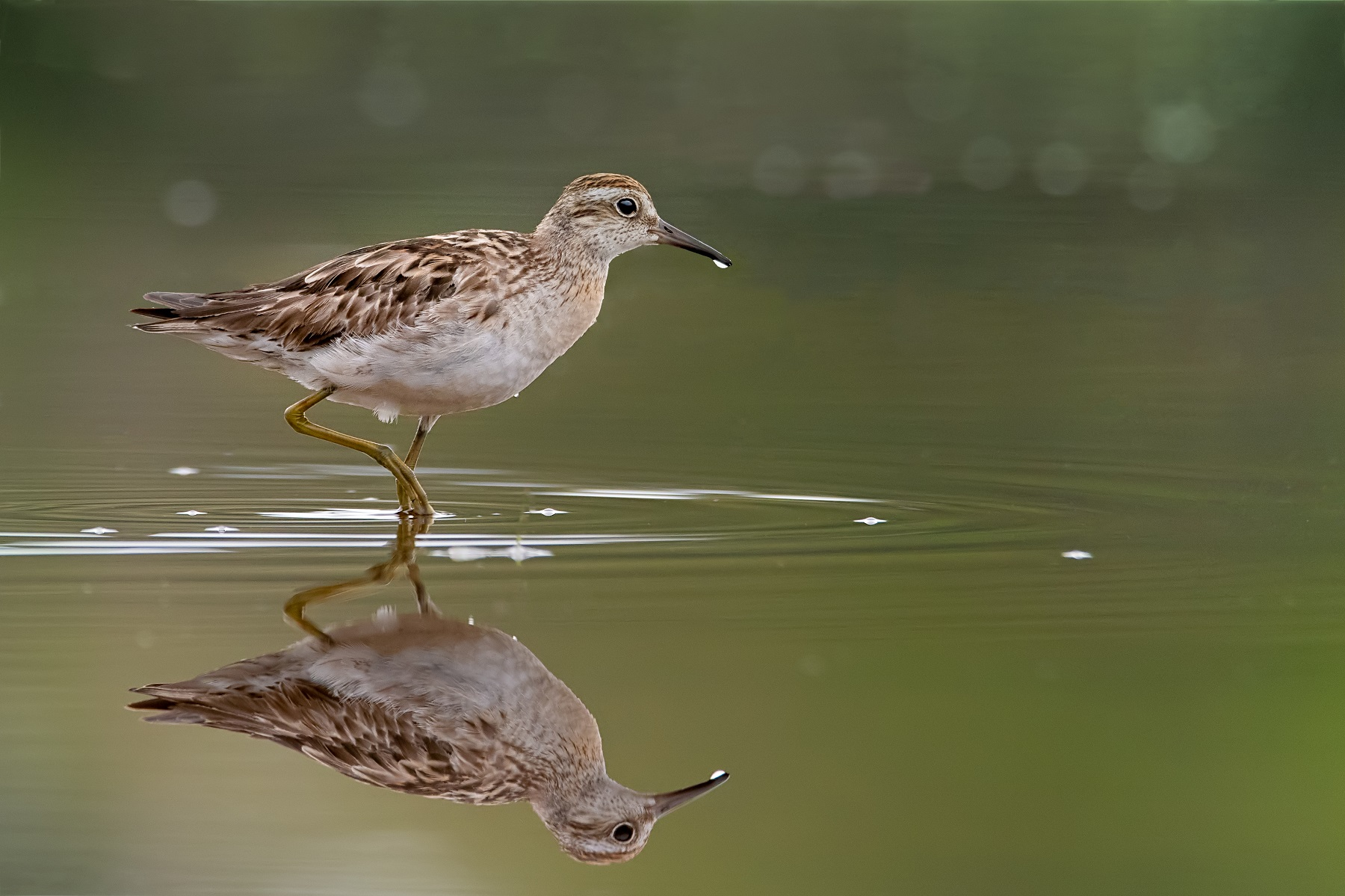 Sharp-tailed Sandpiper (Image ID 43224)