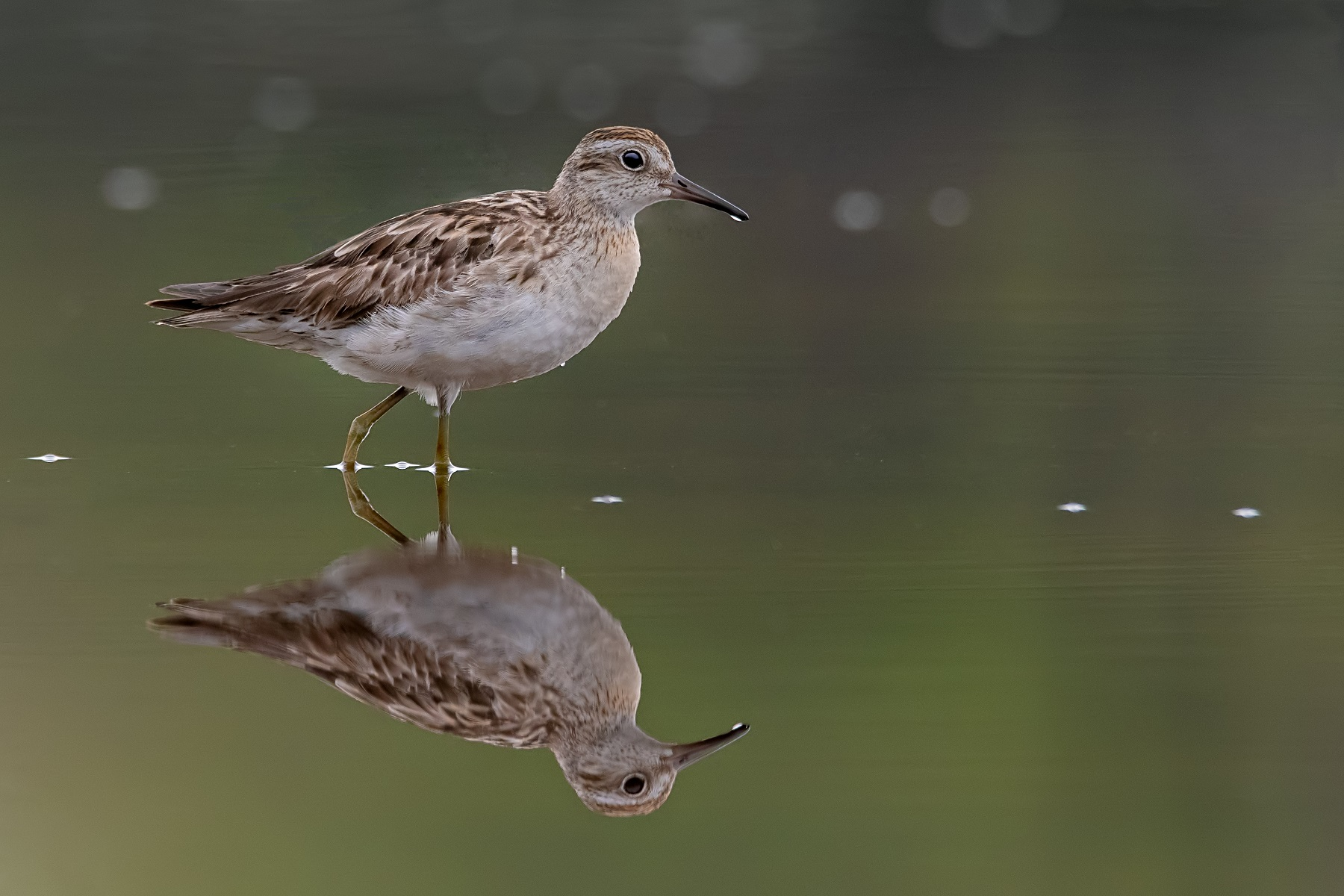 Sharp-tailed Sandpiper (Image ID 43225)