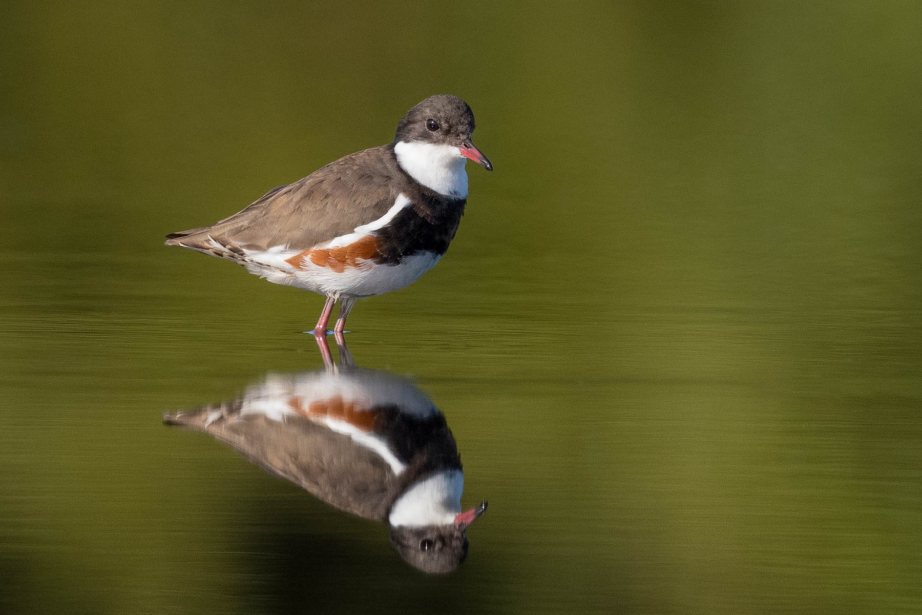Red-kneed Dotterel (Image ID 43234)