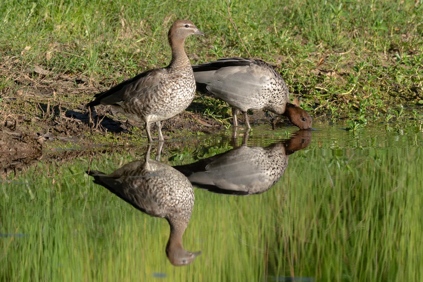 Australian Wood Duck (Image ID 43245)