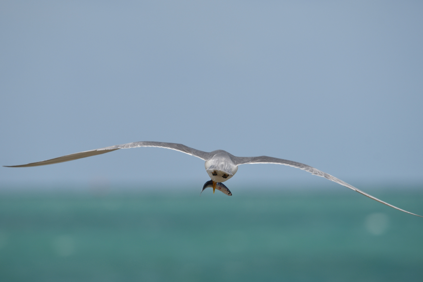 Greater Crested Tern (Image ID 43537)