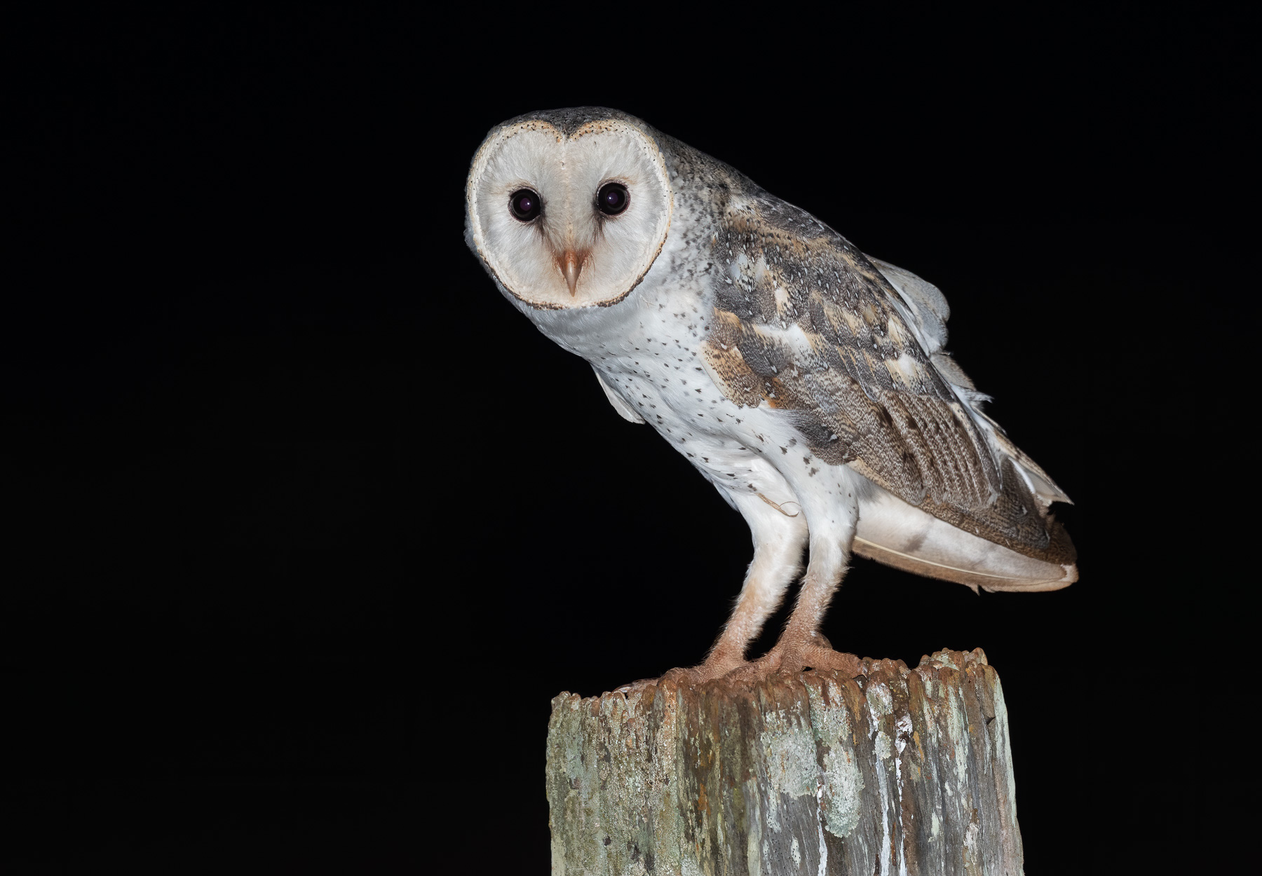 Barn Owl (Image ID 43363)