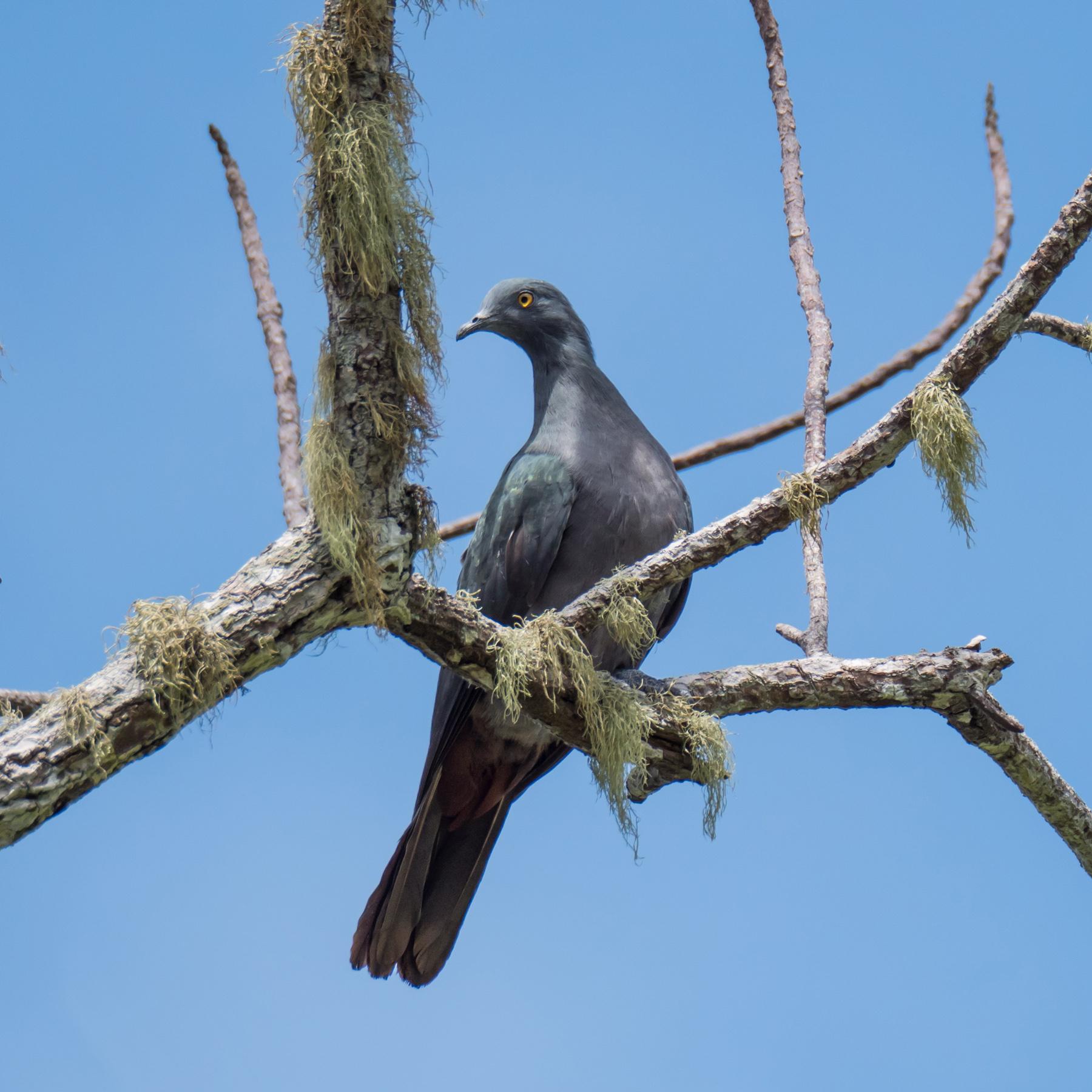 Christmas Island Imperial-Pigeon (Image ID 43329)