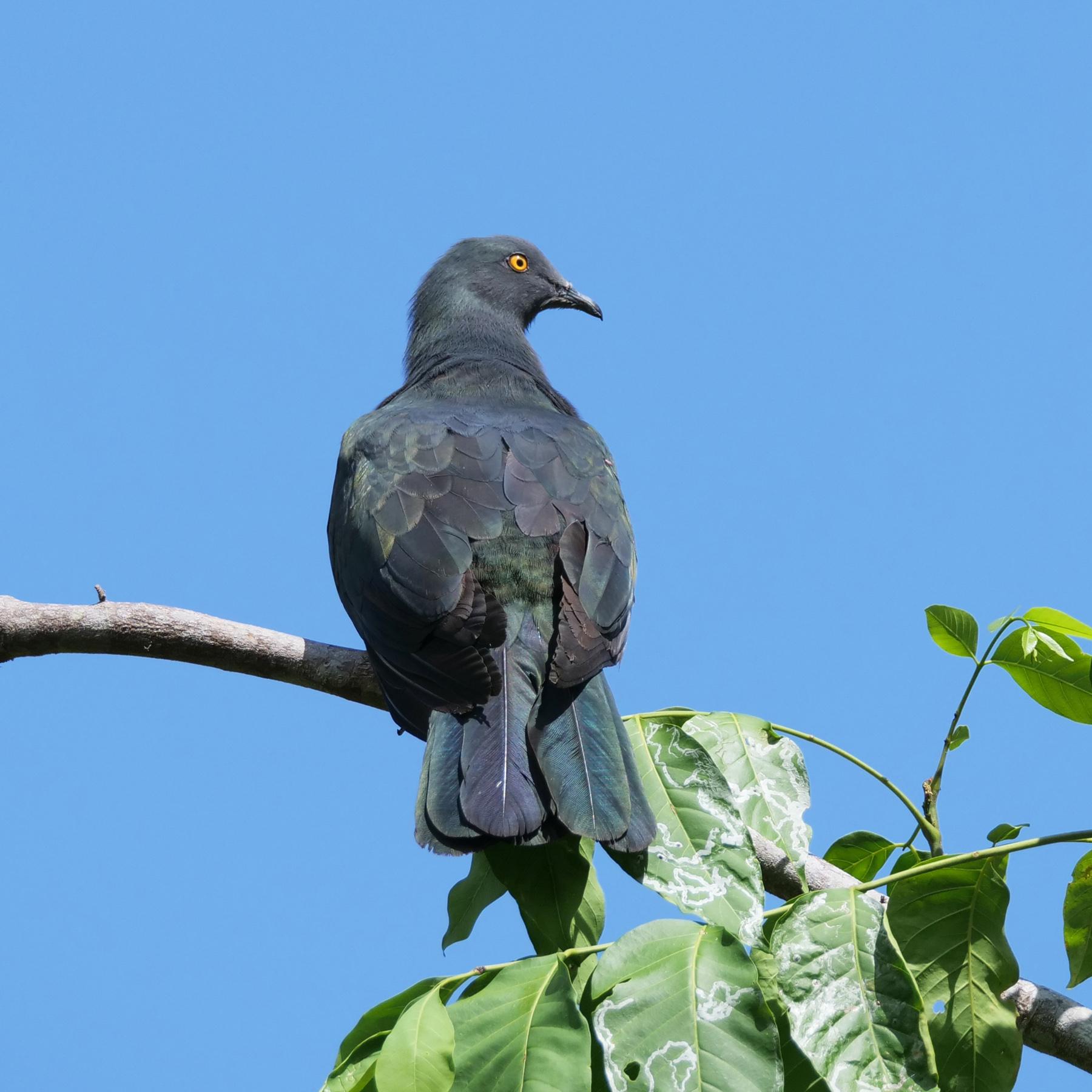 Christmas Island Imperial-Pigeon (Image ID 43330)
