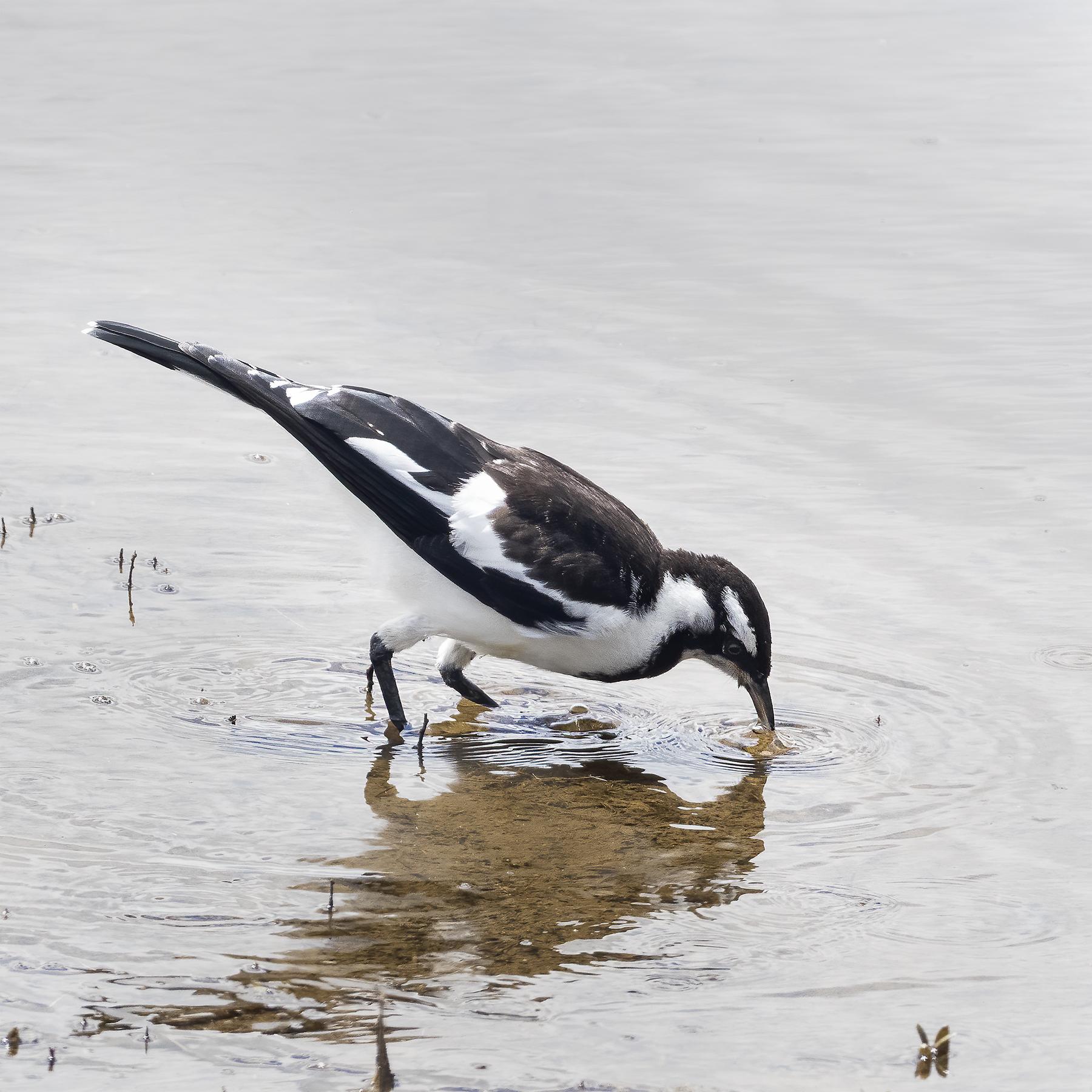 Magpie-lark (Image ID 43470)