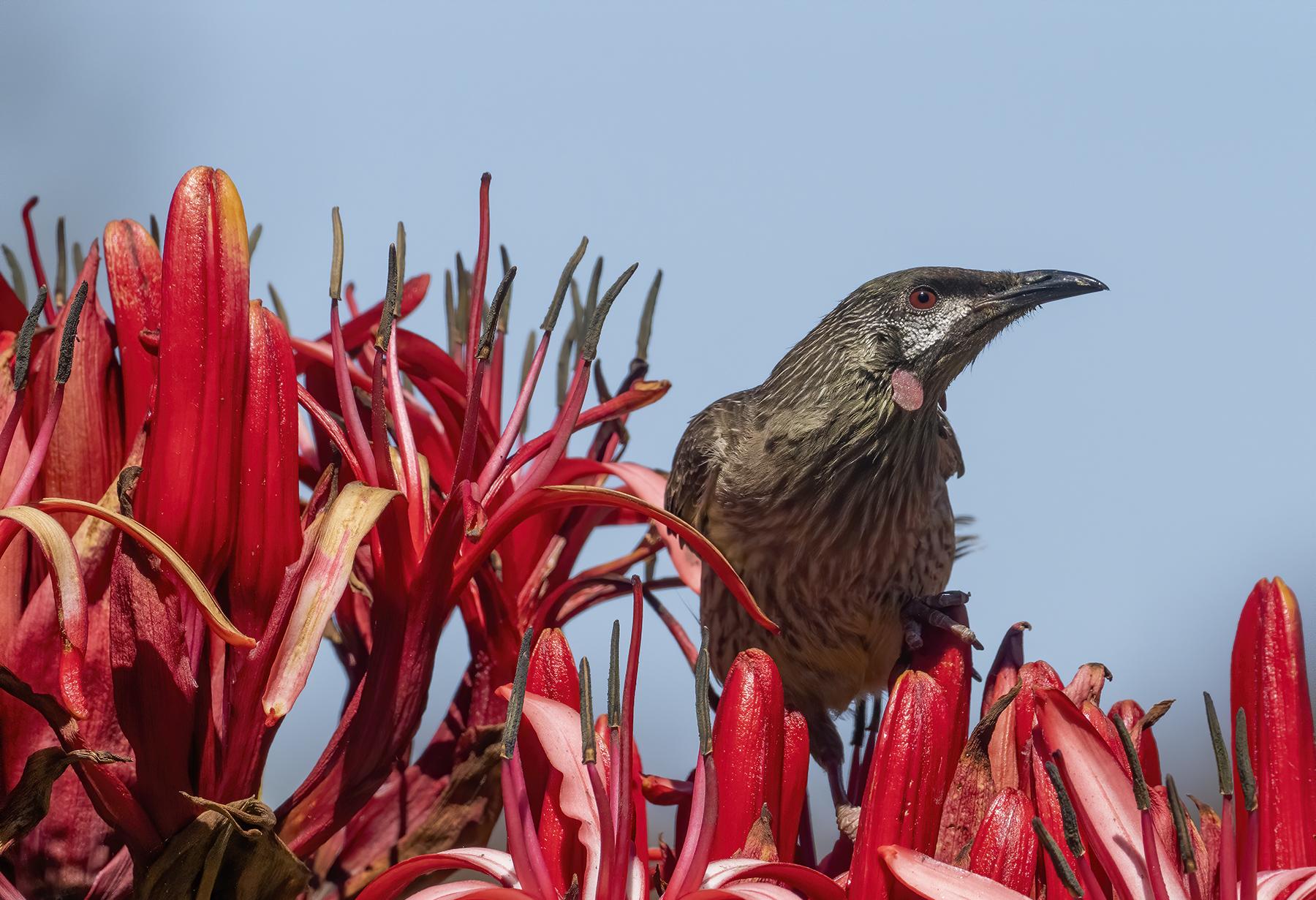 Red Wattlebird (Image ID 43475)