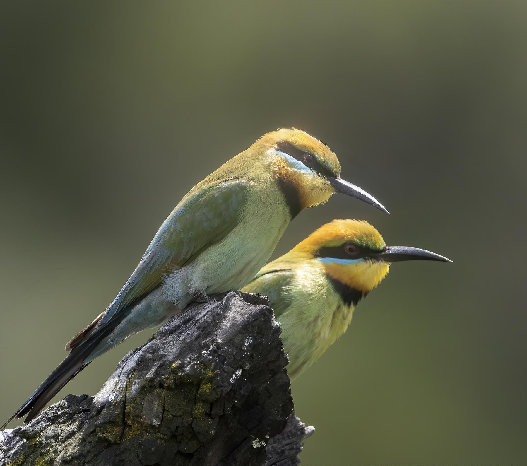 Rainbow Bee-eater (Image ID 43318)