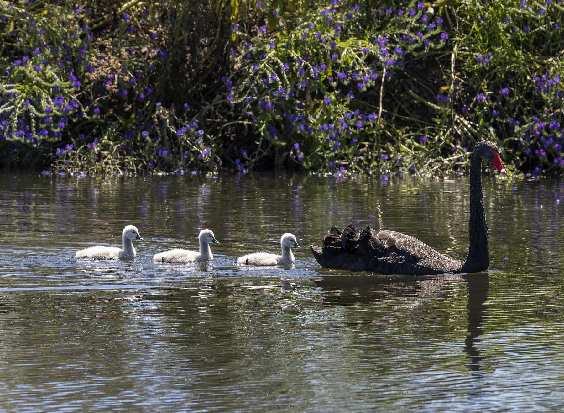 Black Swan (Image ID 43410)