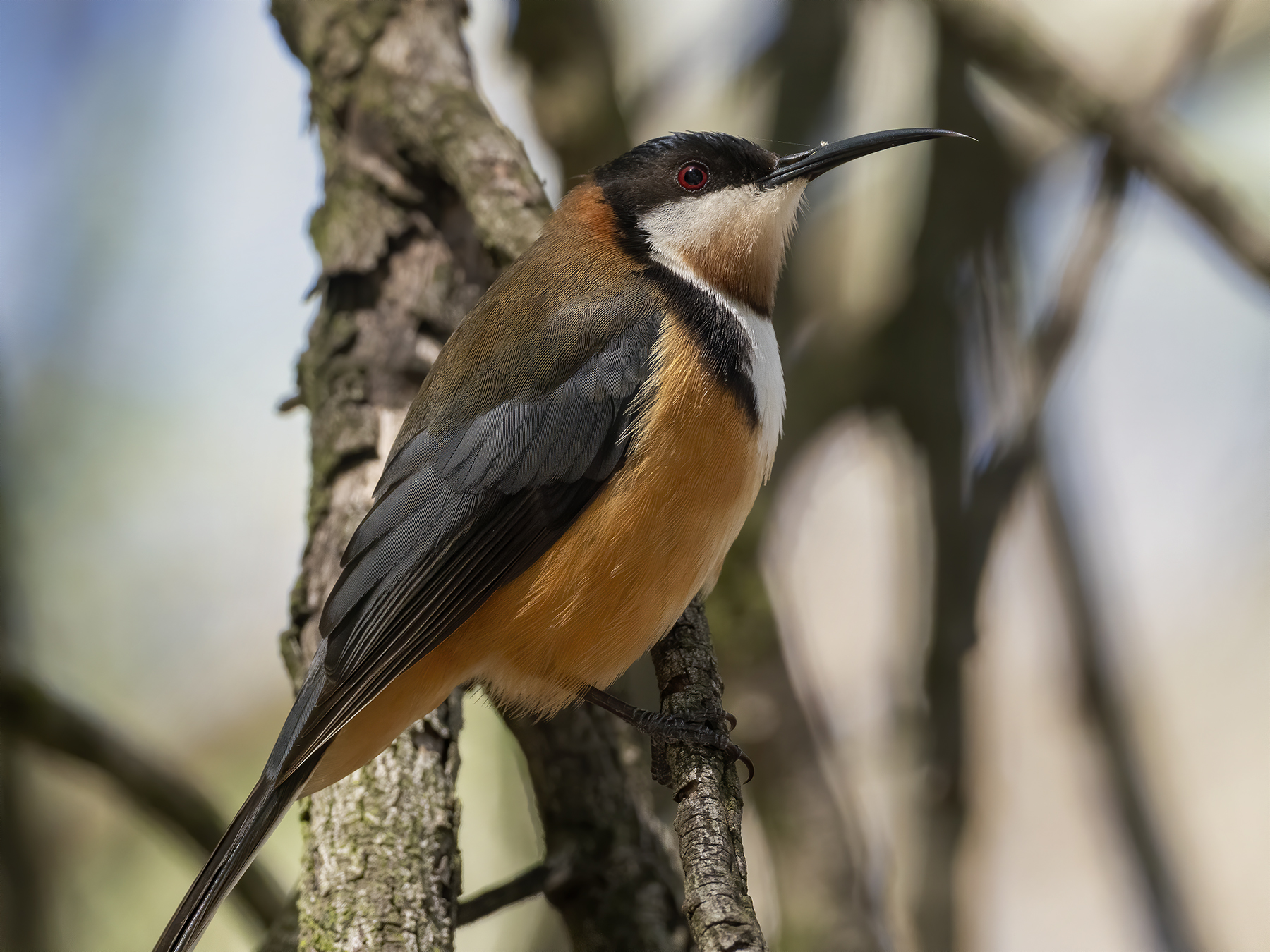 Eastern Spinebill (Image ID 43412)