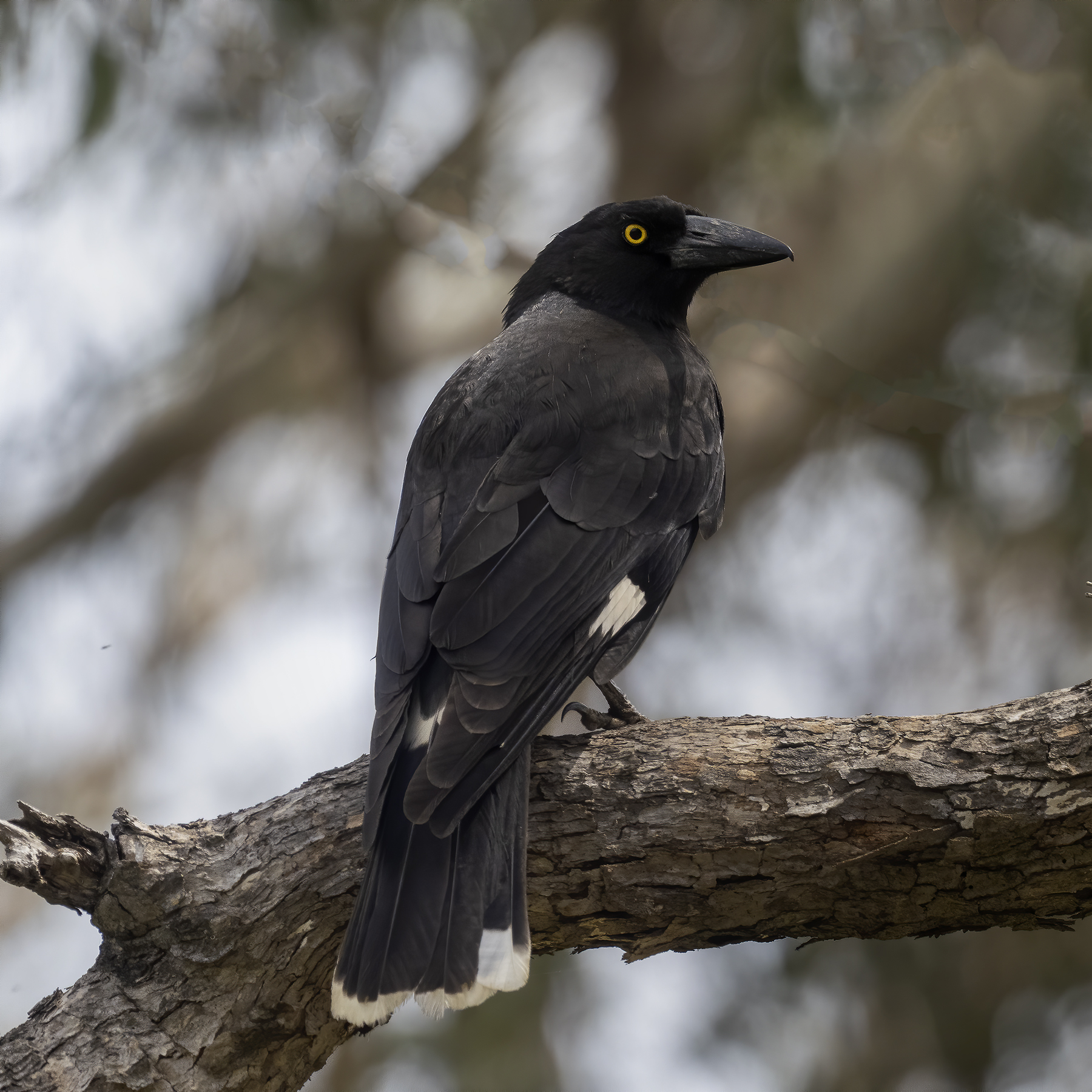 Pied Currawong (Image ID 43384)