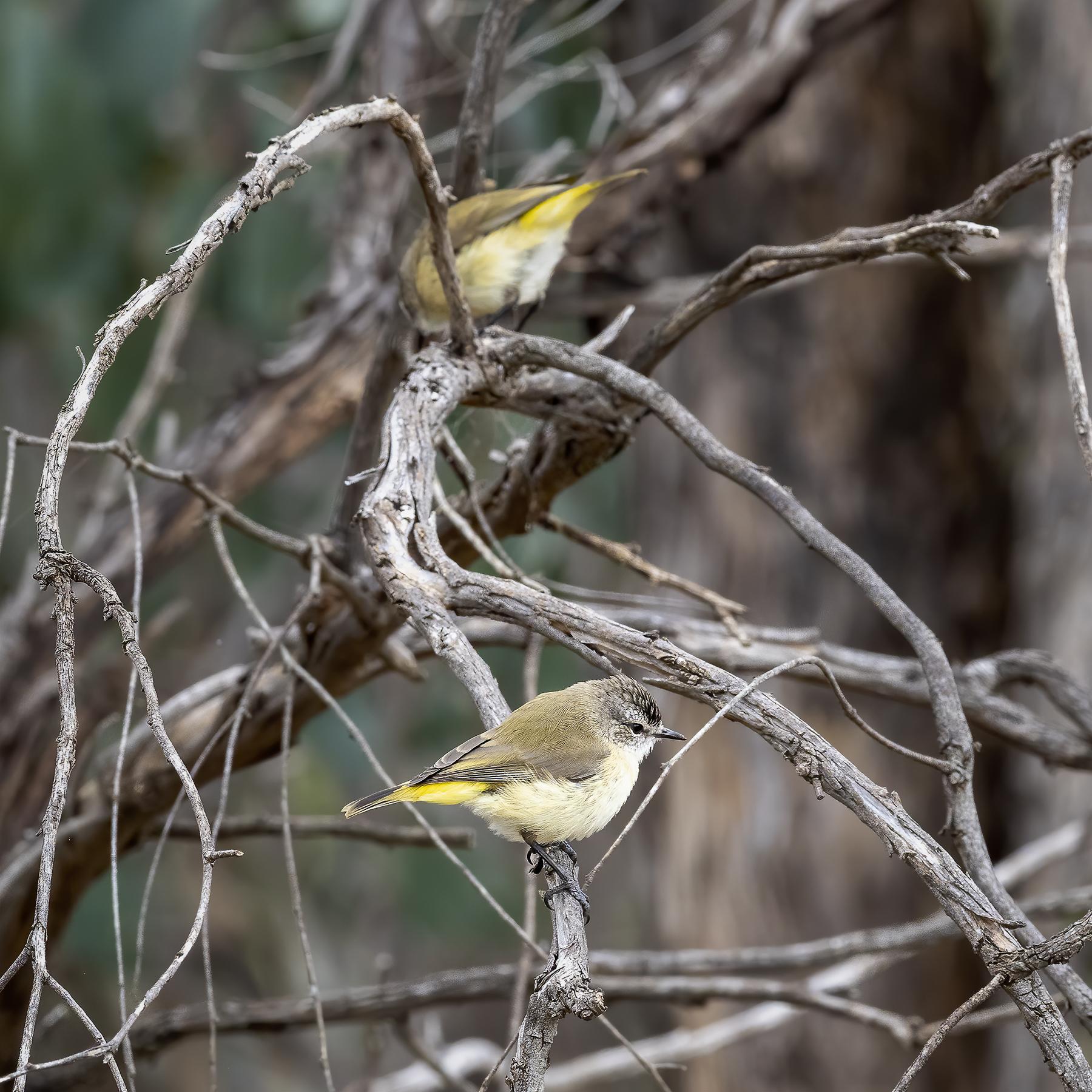 Yellow-rumped Thornbill (Image ID 43285)