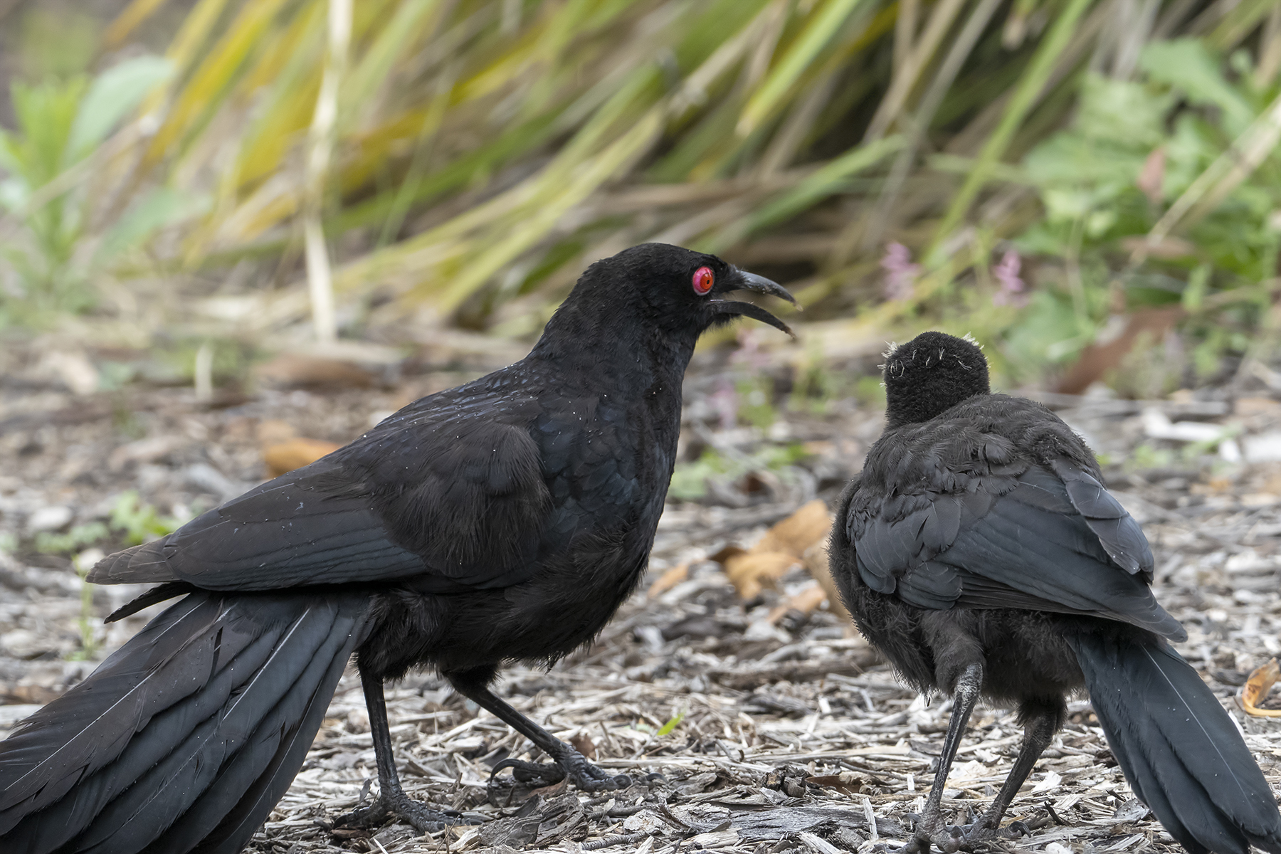 White-winged Chough (Image ID 43284)