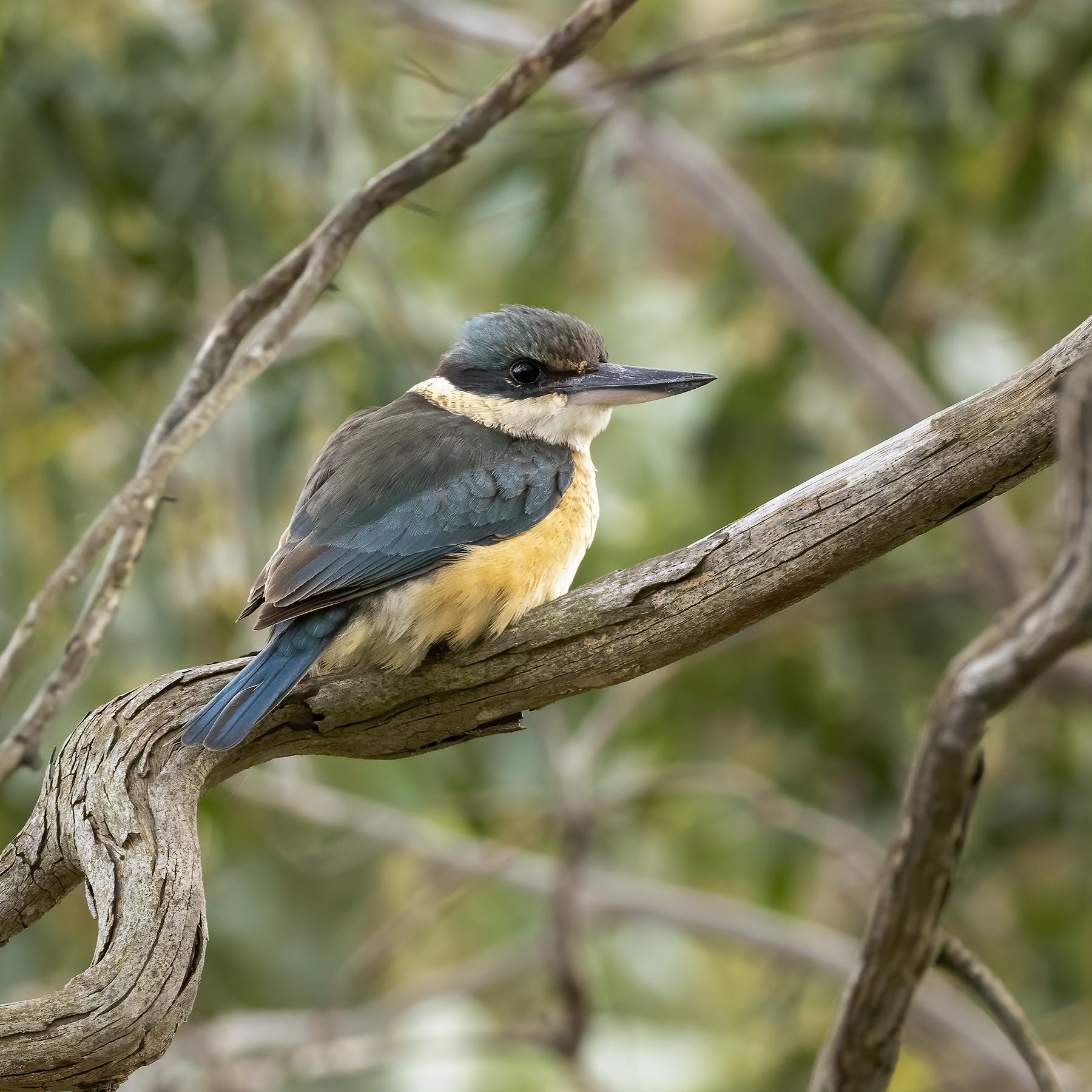 Sacred Kingfisher (Image ID 43220)