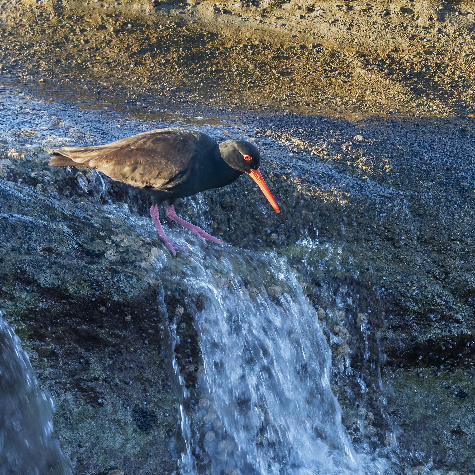 Sooty Oystercatcher (Image ID 43292)