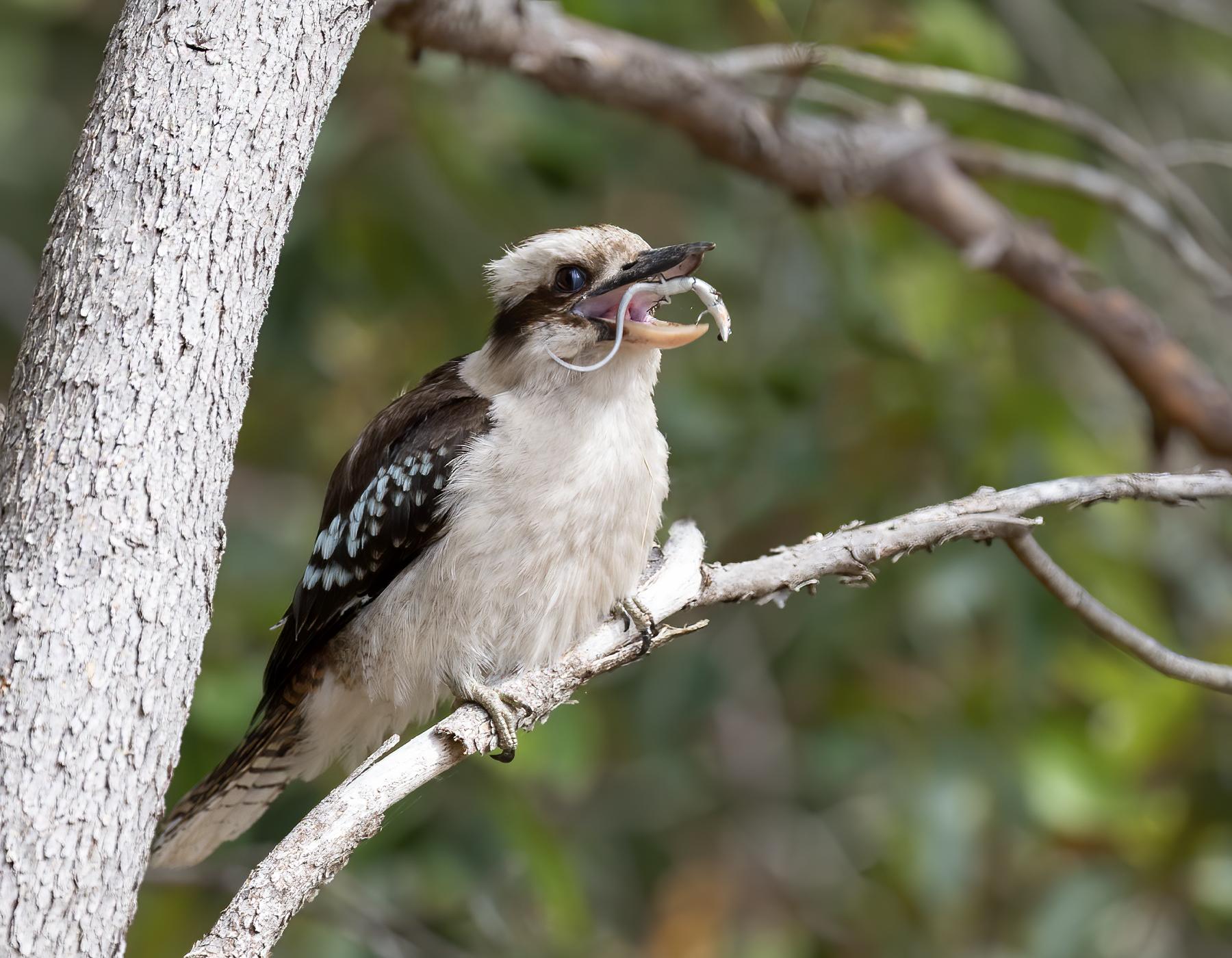 Laughing Kookaburra (Image ID 43429)