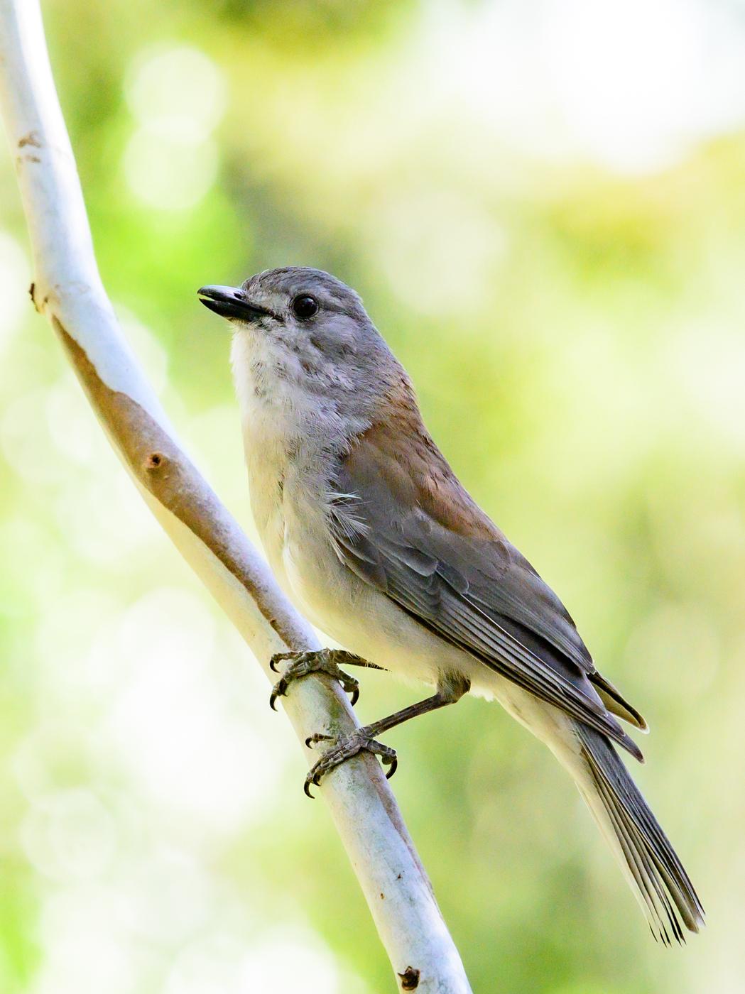 Grey Shrike-thrush (Image ID 43375)