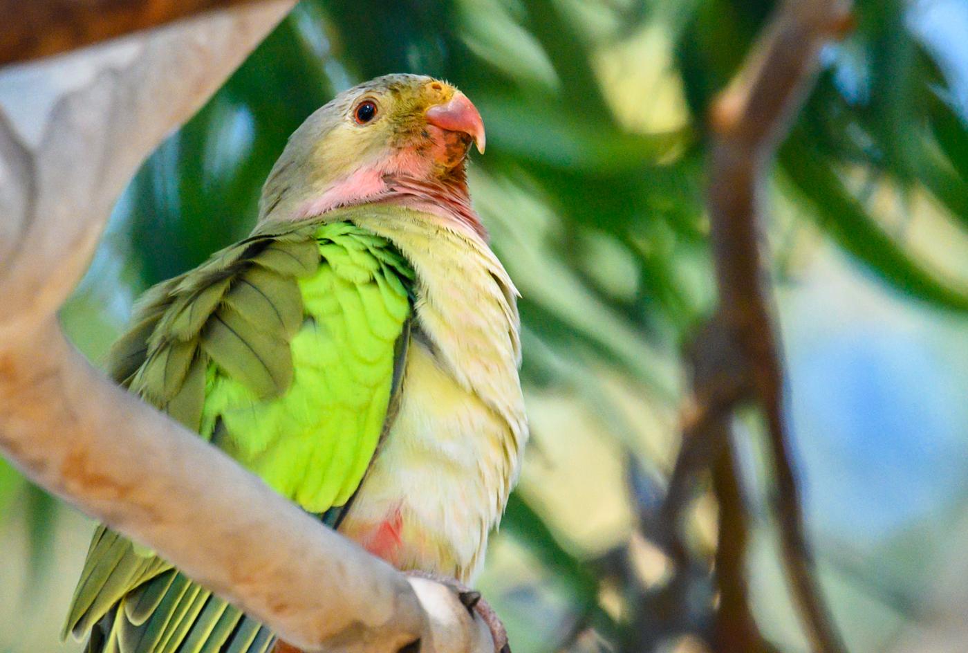 Princess Parrot (Image ID 43281)
