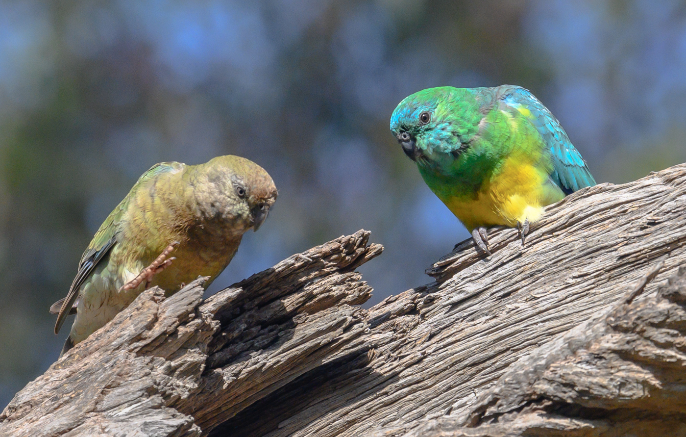 Red-rumped Parrot (Image ID 43286)