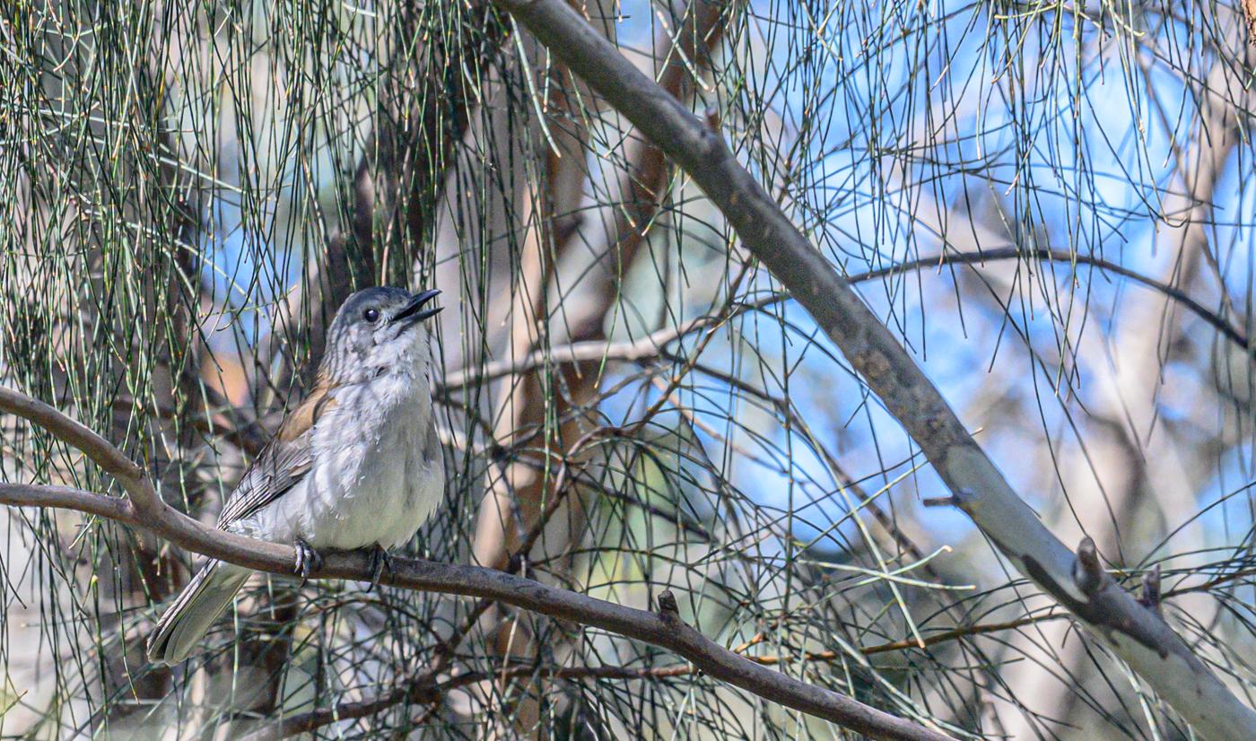 Grey Shrike-thrush (Image ID 43293)
