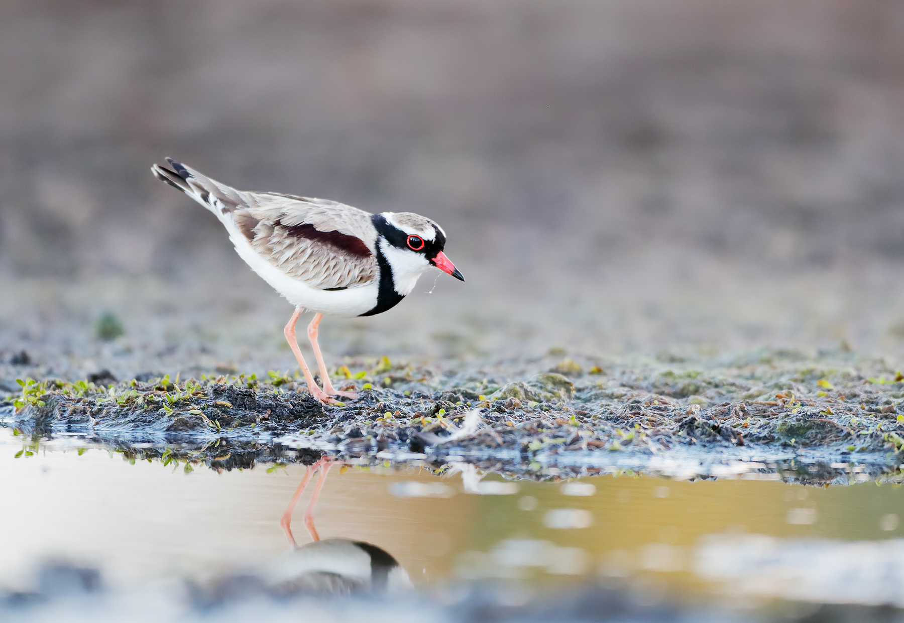 Black-fronted Dotterel (Image ID 43527)