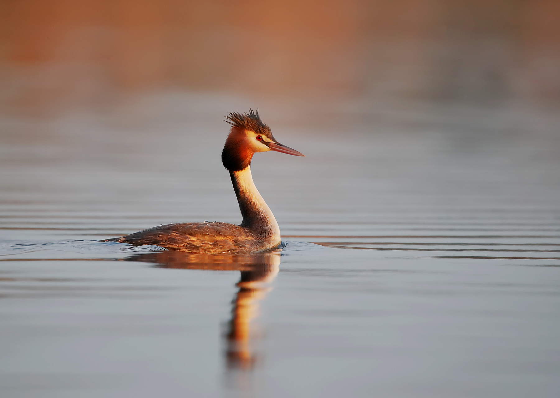 Great Crested Grebe (Image ID 43500)