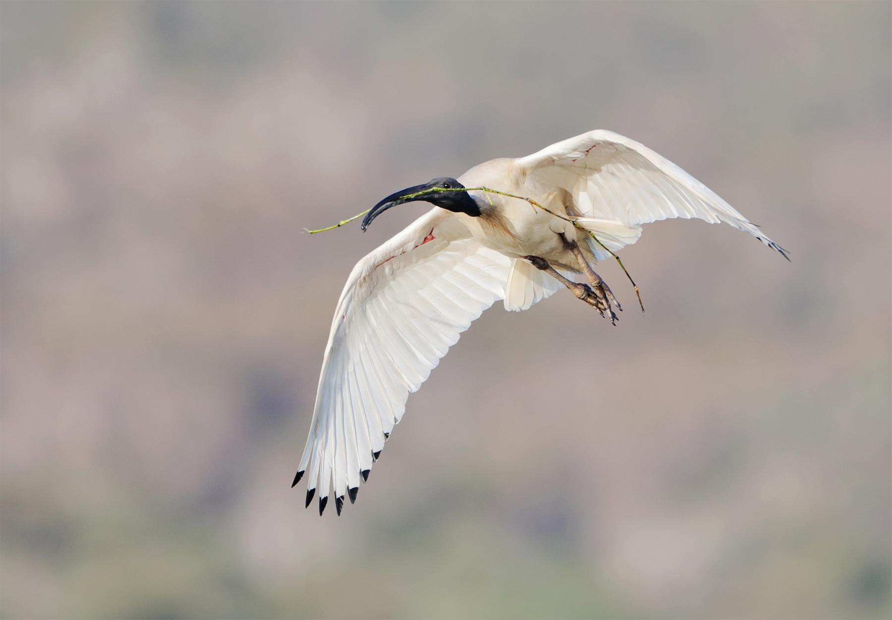 Australian White Ibis (Image ID 43501)