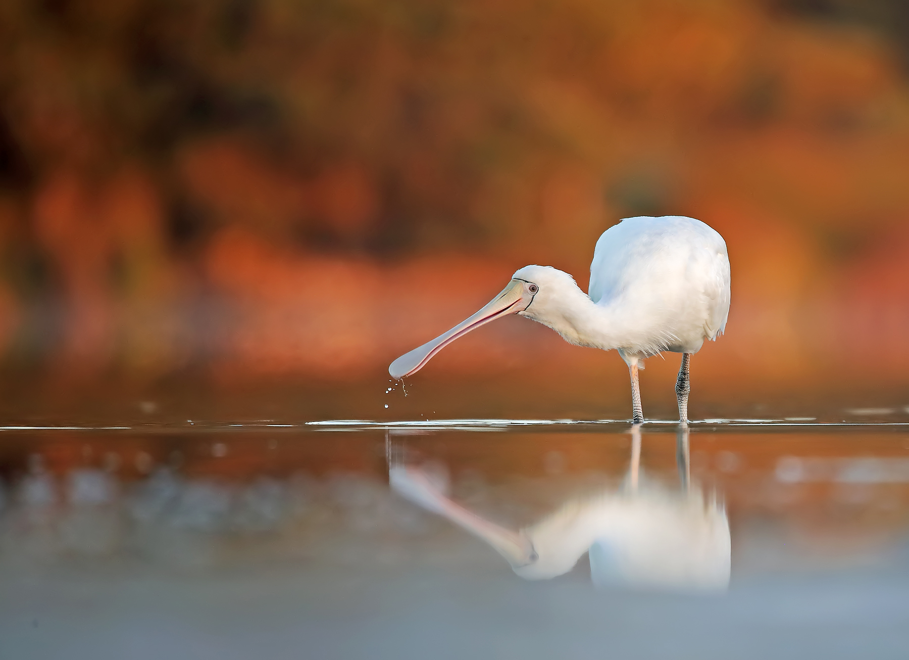 Yellow-billed Spoonbill (Image ID 43239)