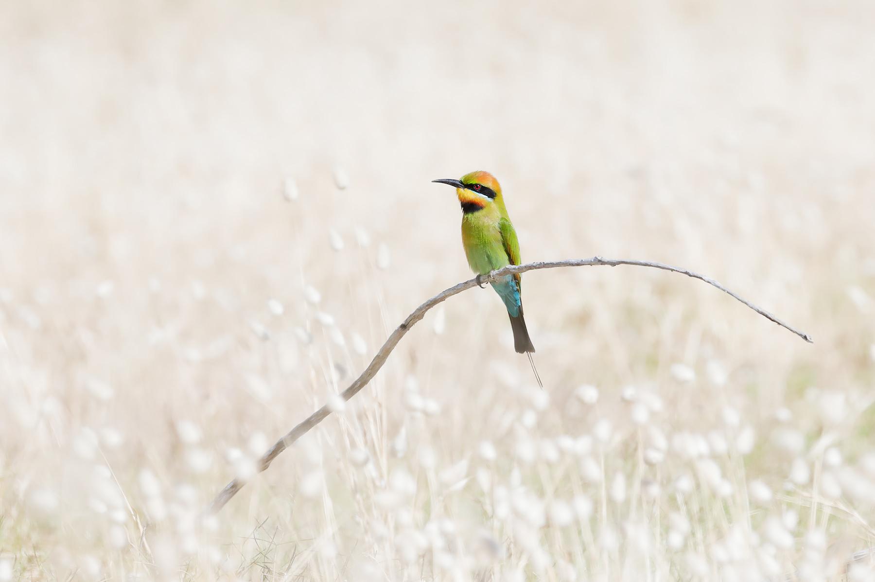 Rainbow Bee-eater (Image ID 43642)