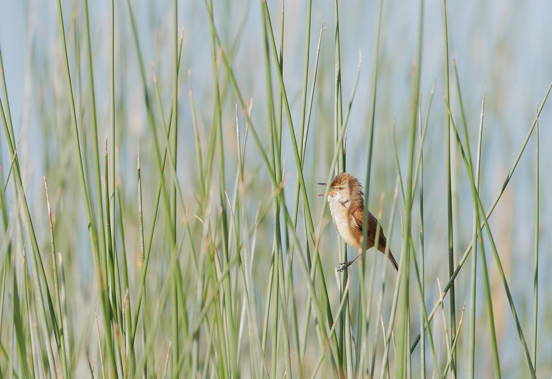 Australian Reed-Warbler (Image ID 43530)