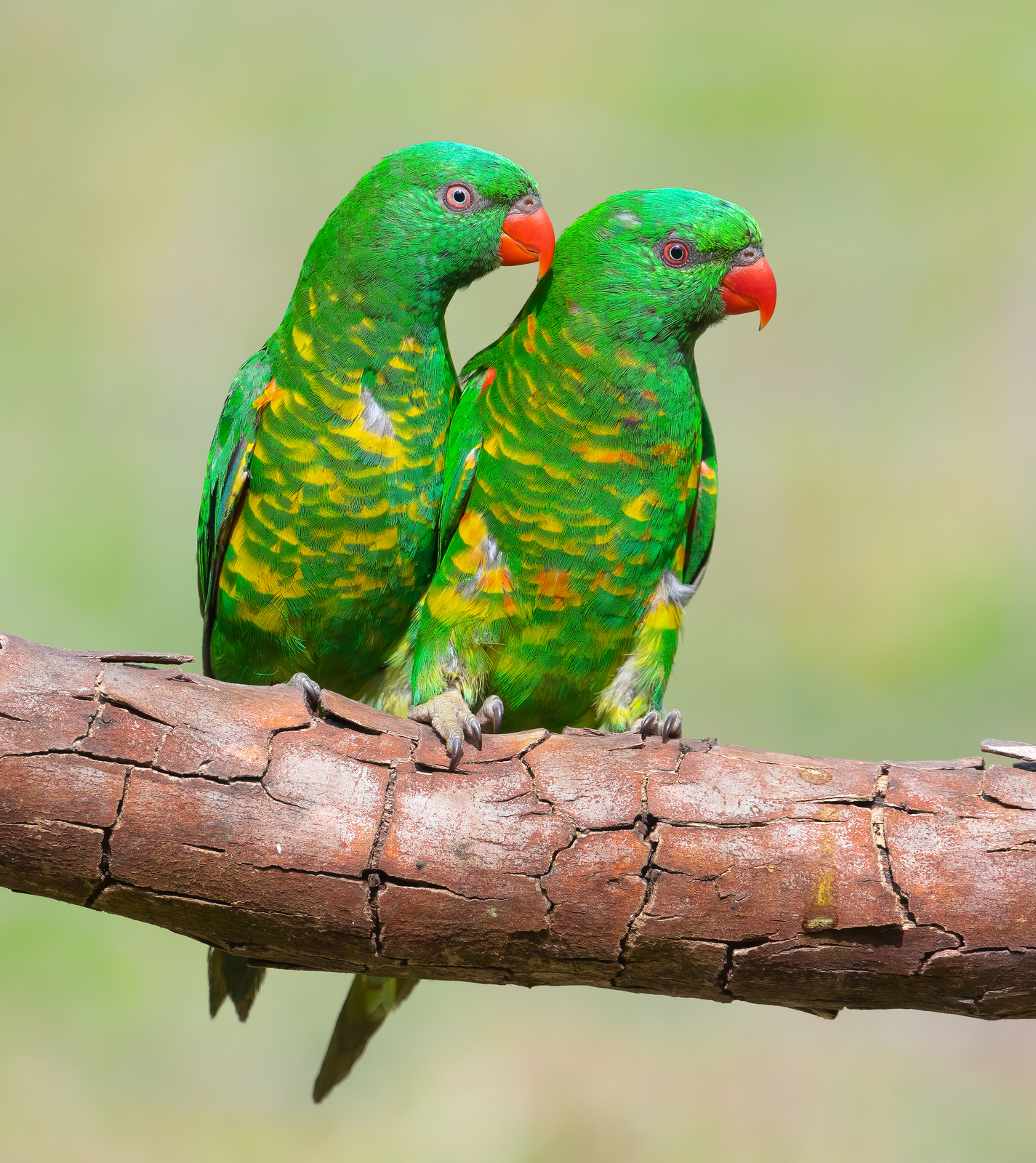 Scaly-breasted Lorikeet (Image ID 43358)