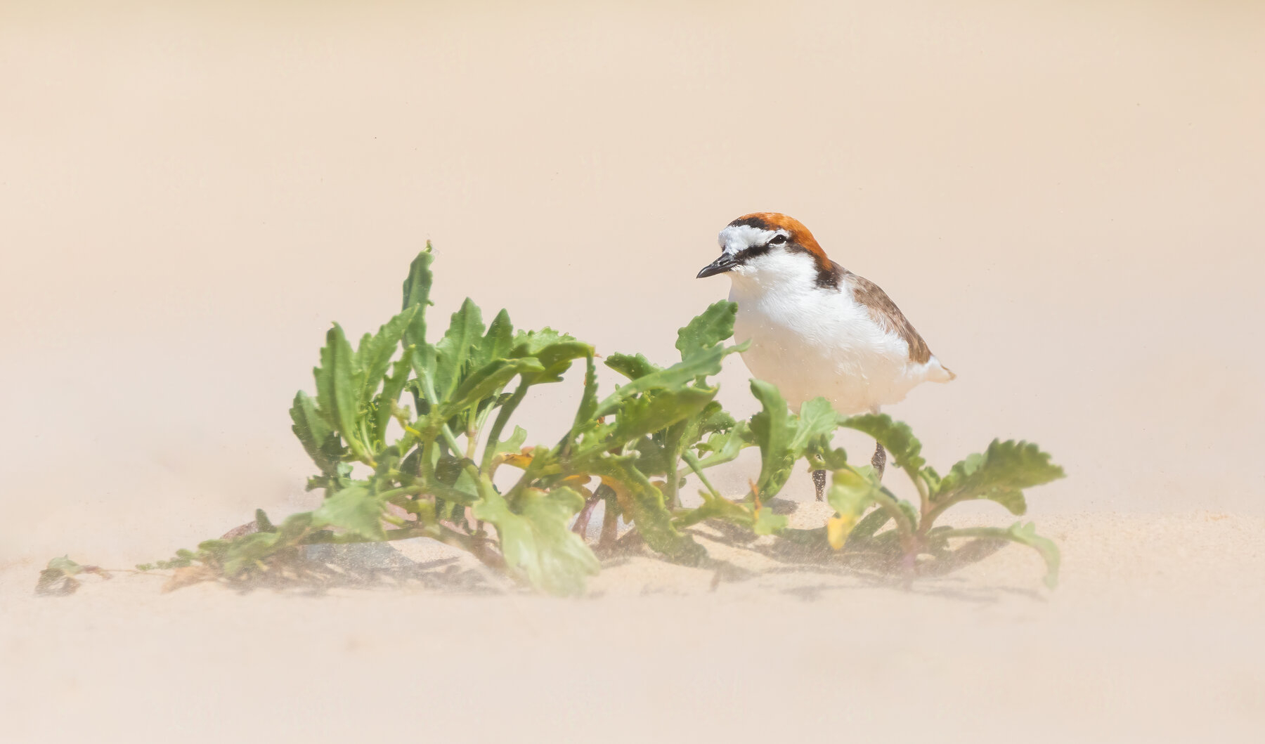 Red-capped Plover (Image ID 43480)