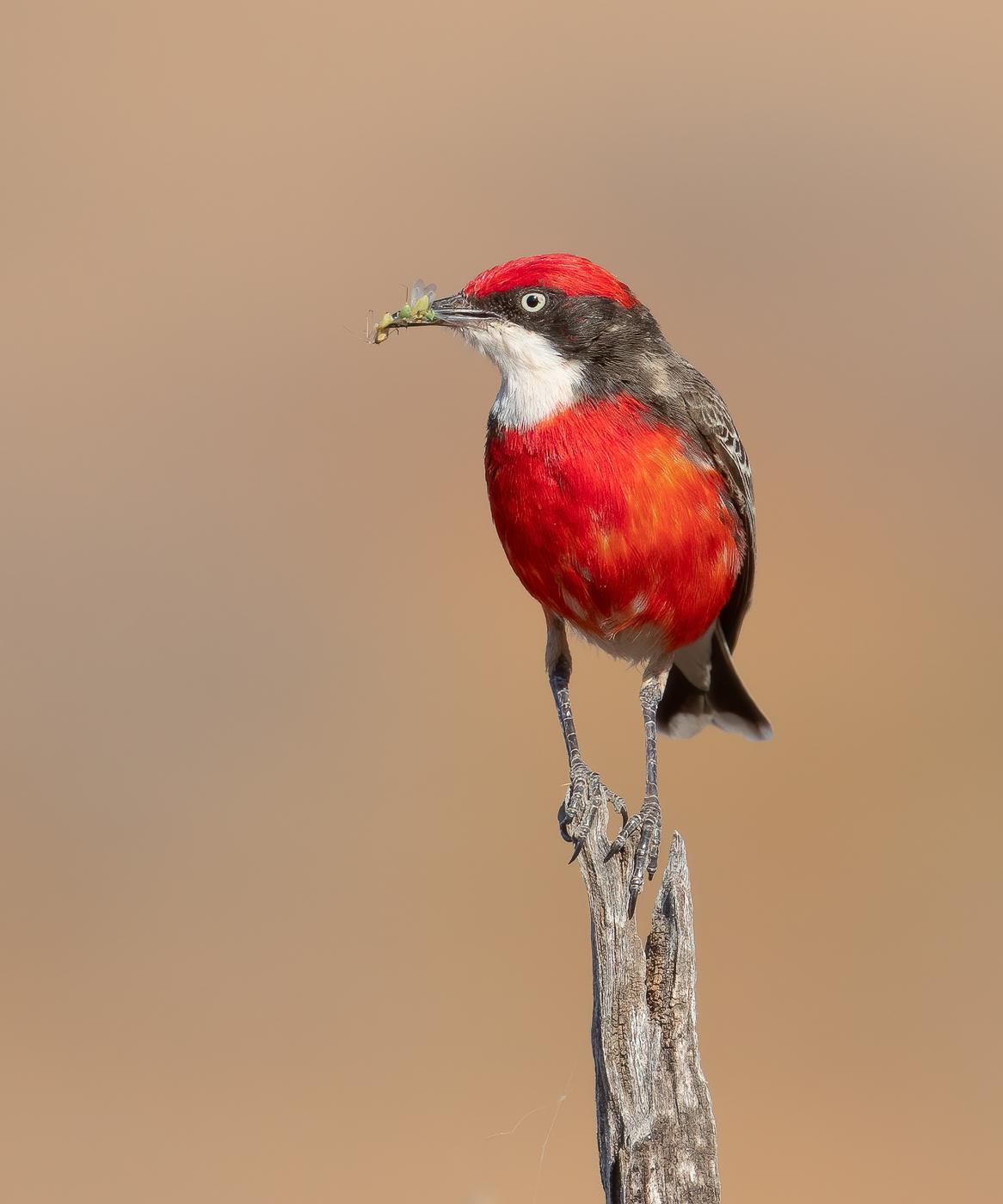 Crimson Chat (Image ID 43555)