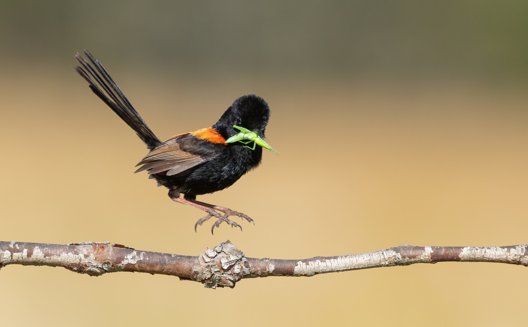 Red-backed Fairy-wren (Image ID 43262)