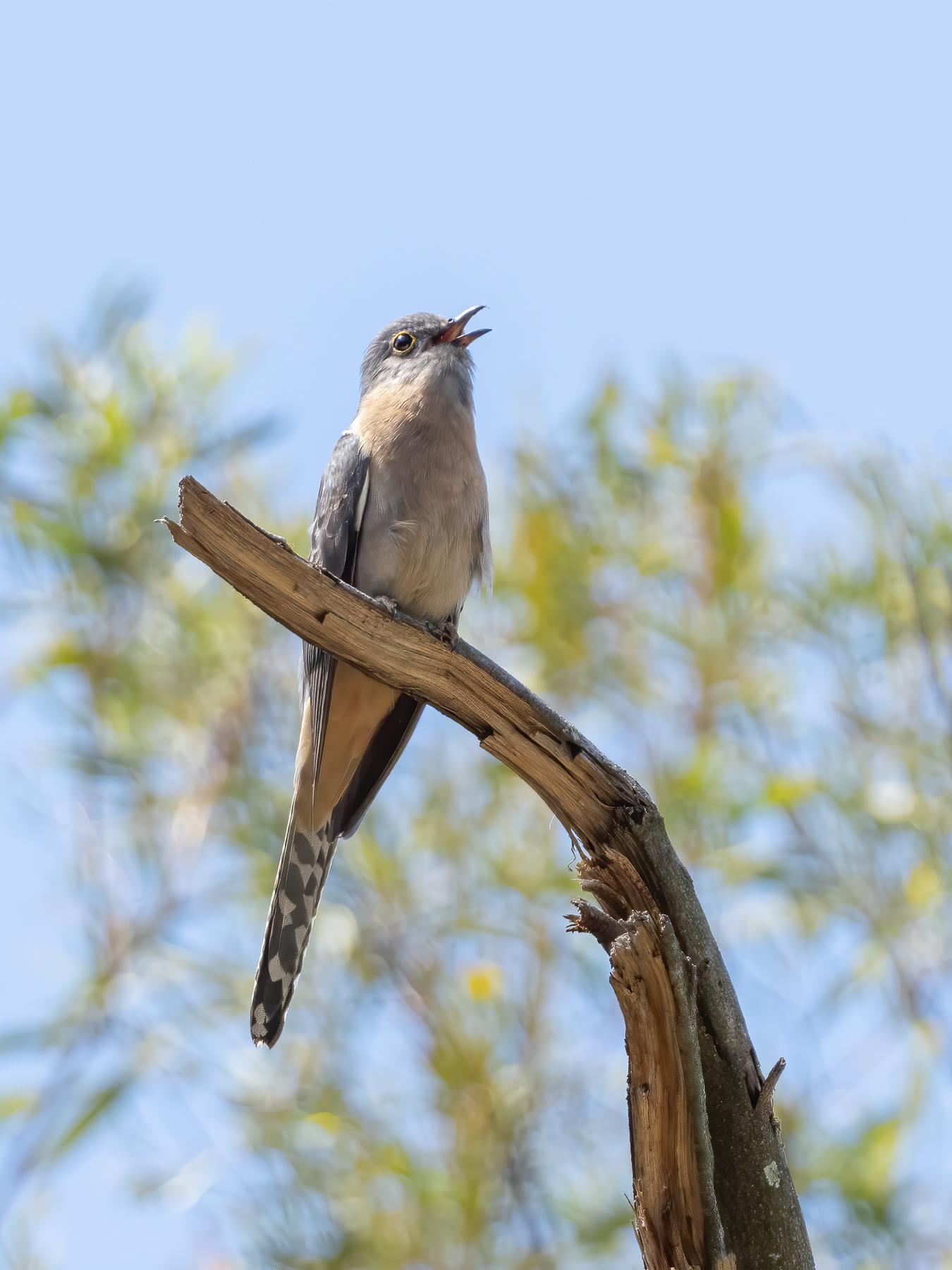 Fan-tailed Cuckoo (Image ID 43287)
