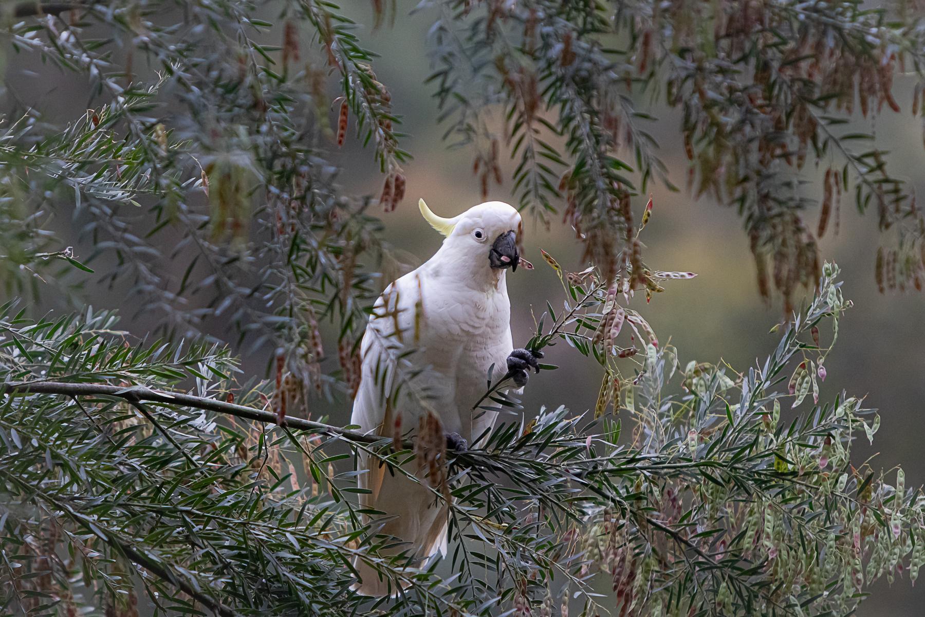 Sulphur-crested Cockatoo (Image ID 43346)