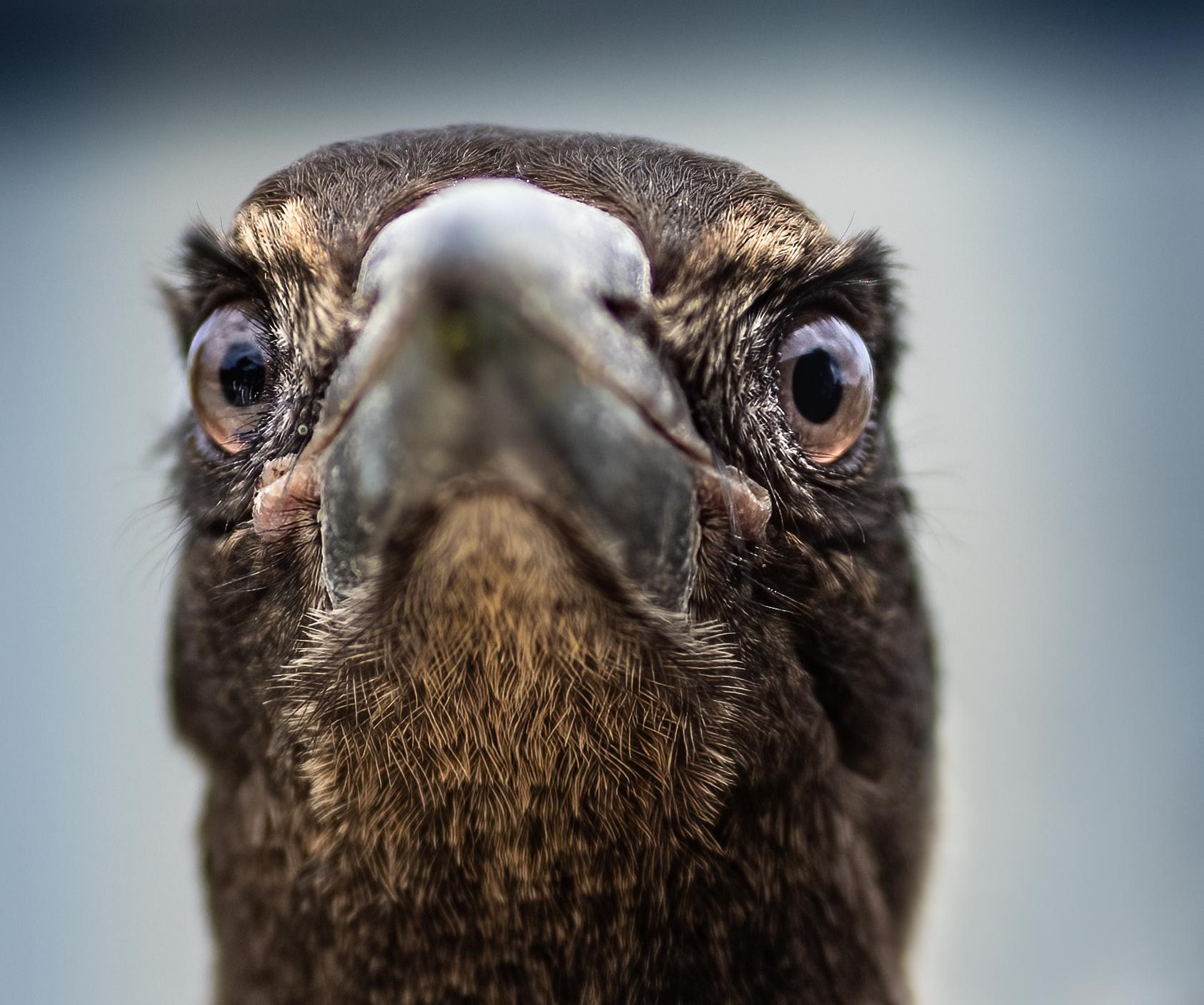 Australian Magpie (Image ID 43657)