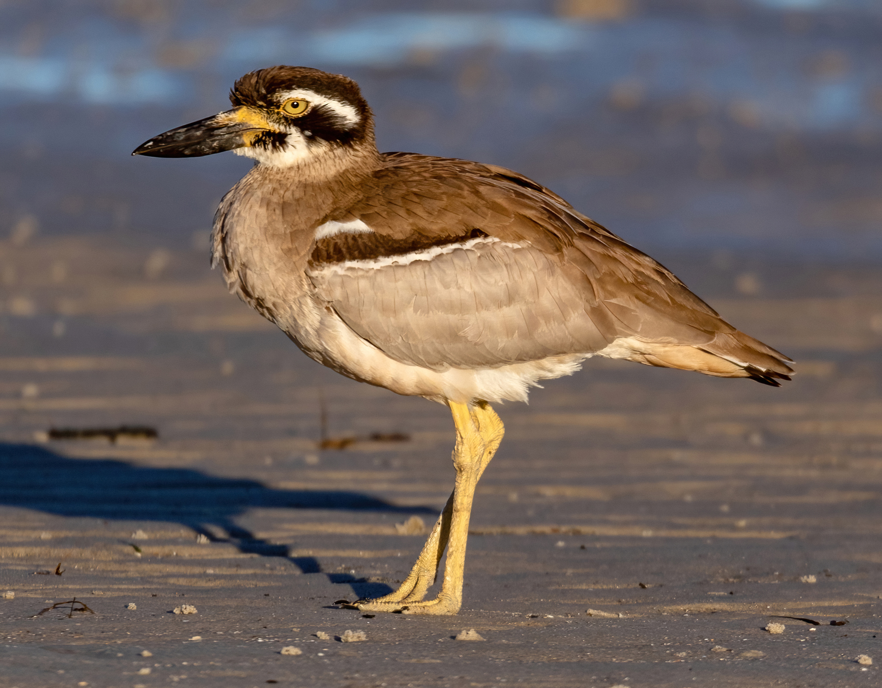 Beach Stone-curlew (Image ID 43658)