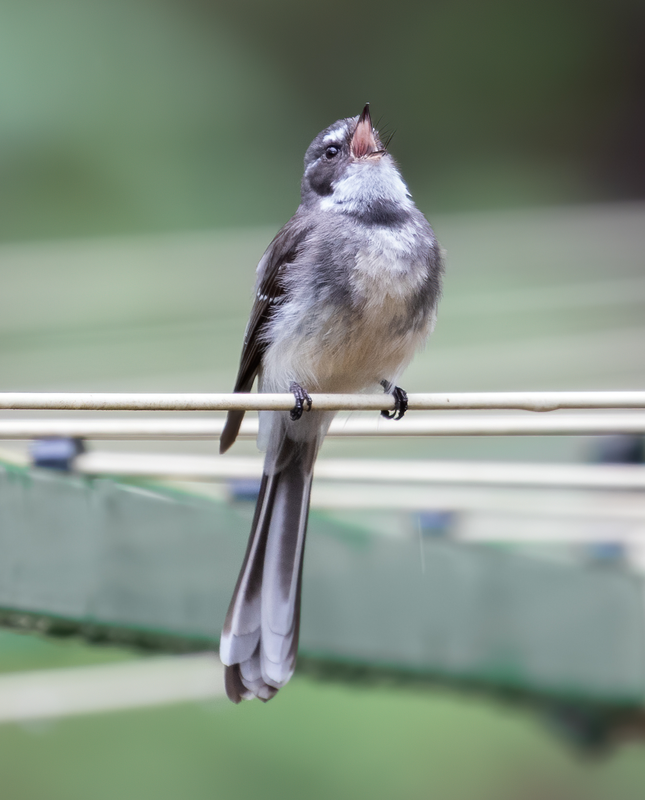 Grey Fantail (Image ID 43269)