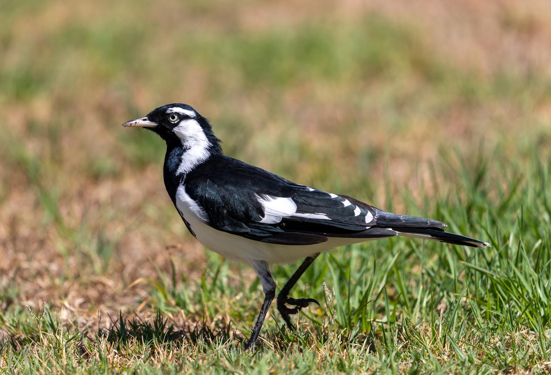 Magpie-lark (Image ID 43518)