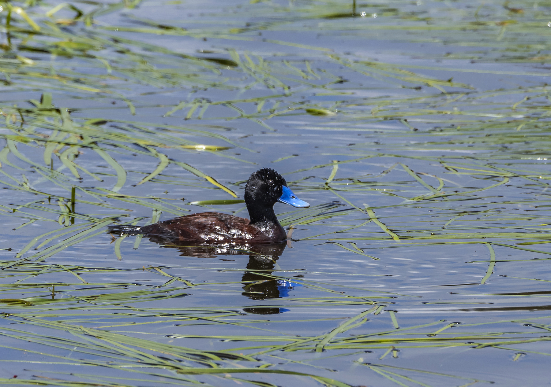 Blue-billed Duck (Image ID 43604)