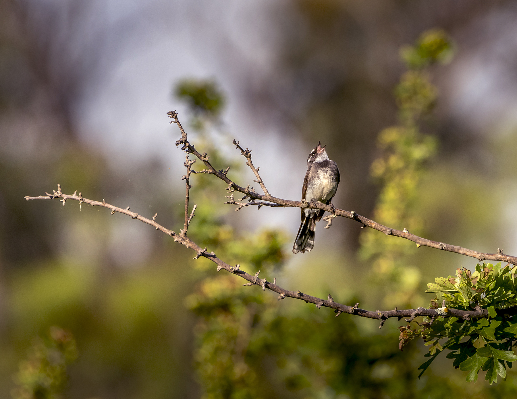 Grey Fantail (Image ID 43611)