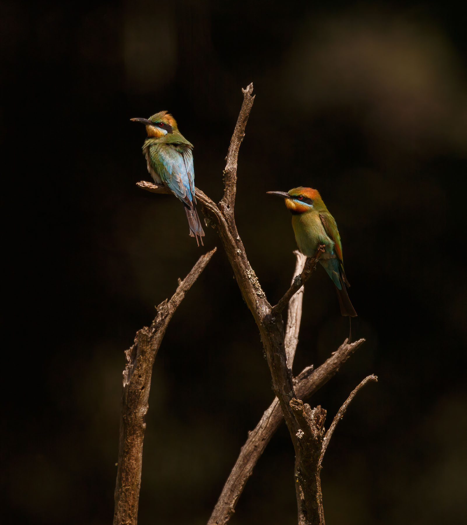 Rainbow Bee-eater (Image ID 43463)